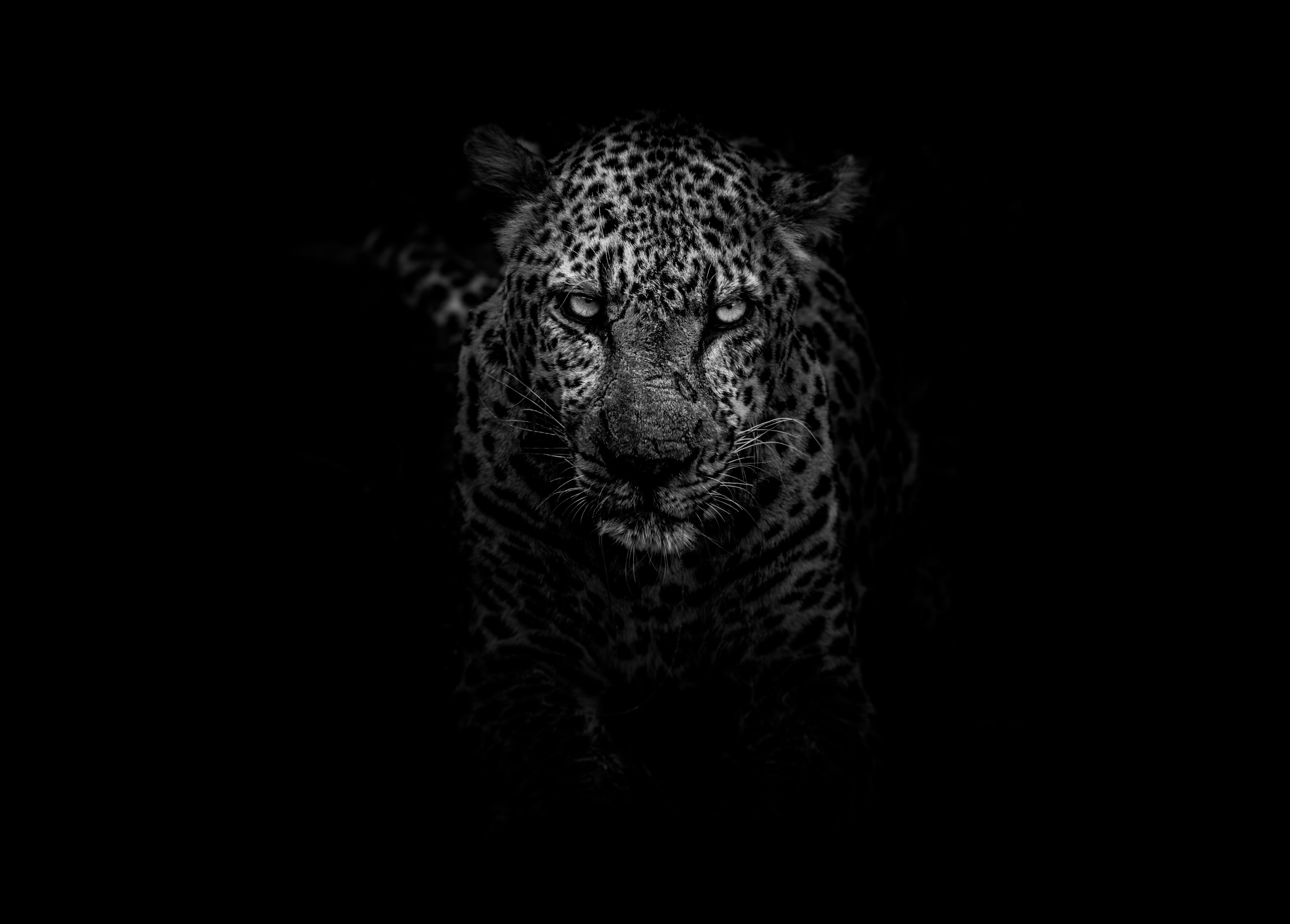 135268 download wallpaper Animals, Leopard, Muzzle, Predator, Bw, Chb screensavers and pictures for free