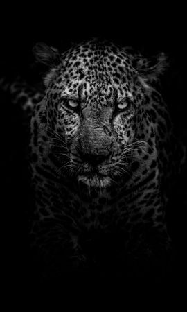 135268 download wallpaper Animals, Leopard, Predator, Muzzle, Bw, Chb screensavers and pictures for free