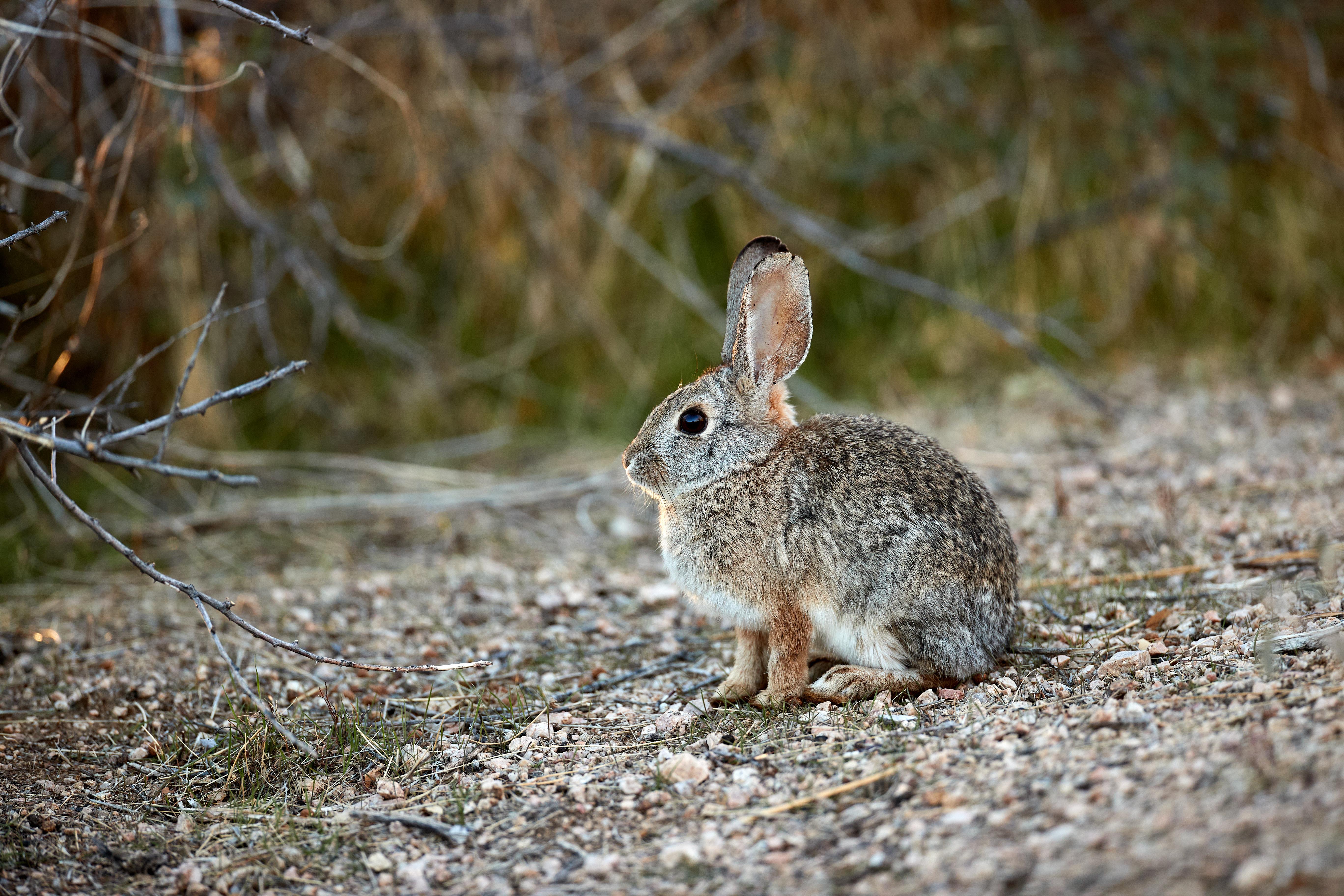 104109 скачать обои Животные, Кролик, Животное, Серый, Милый, Дикая Природа - заставки и картинки бесплатно