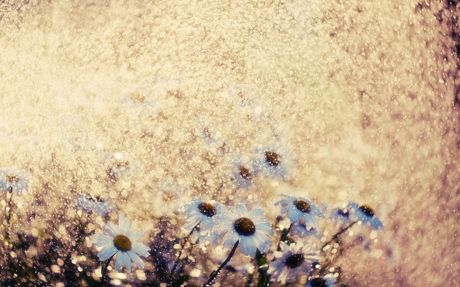 153868 download wallpaper Macro, Camomile, Glare, Shine, Brilliance, Flowers screensavers and pictures for free