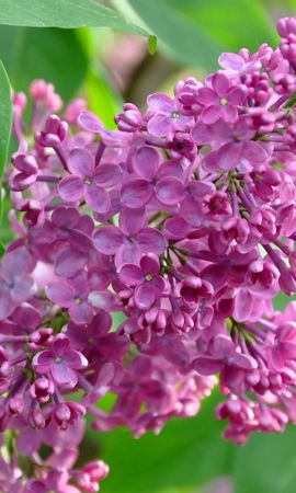 25208 descargar fondo de pantalla Plantas, Flores, Lila, Violeta: protectores de pantalla e imágenes gratis