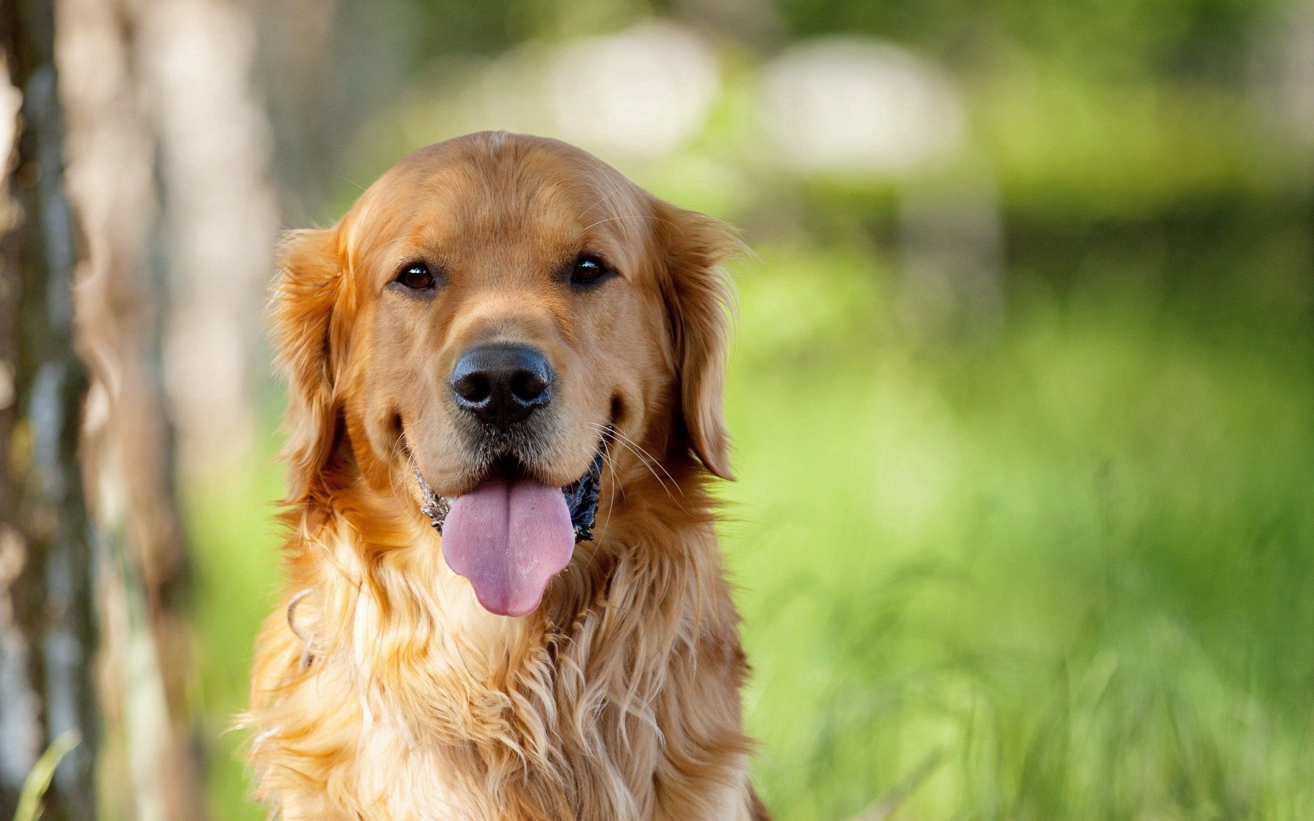 82973 download wallpaper Animals, Dog, Language, Tongue, Grass, Relaxation, Rest, Fluffy screensavers and pictures for free