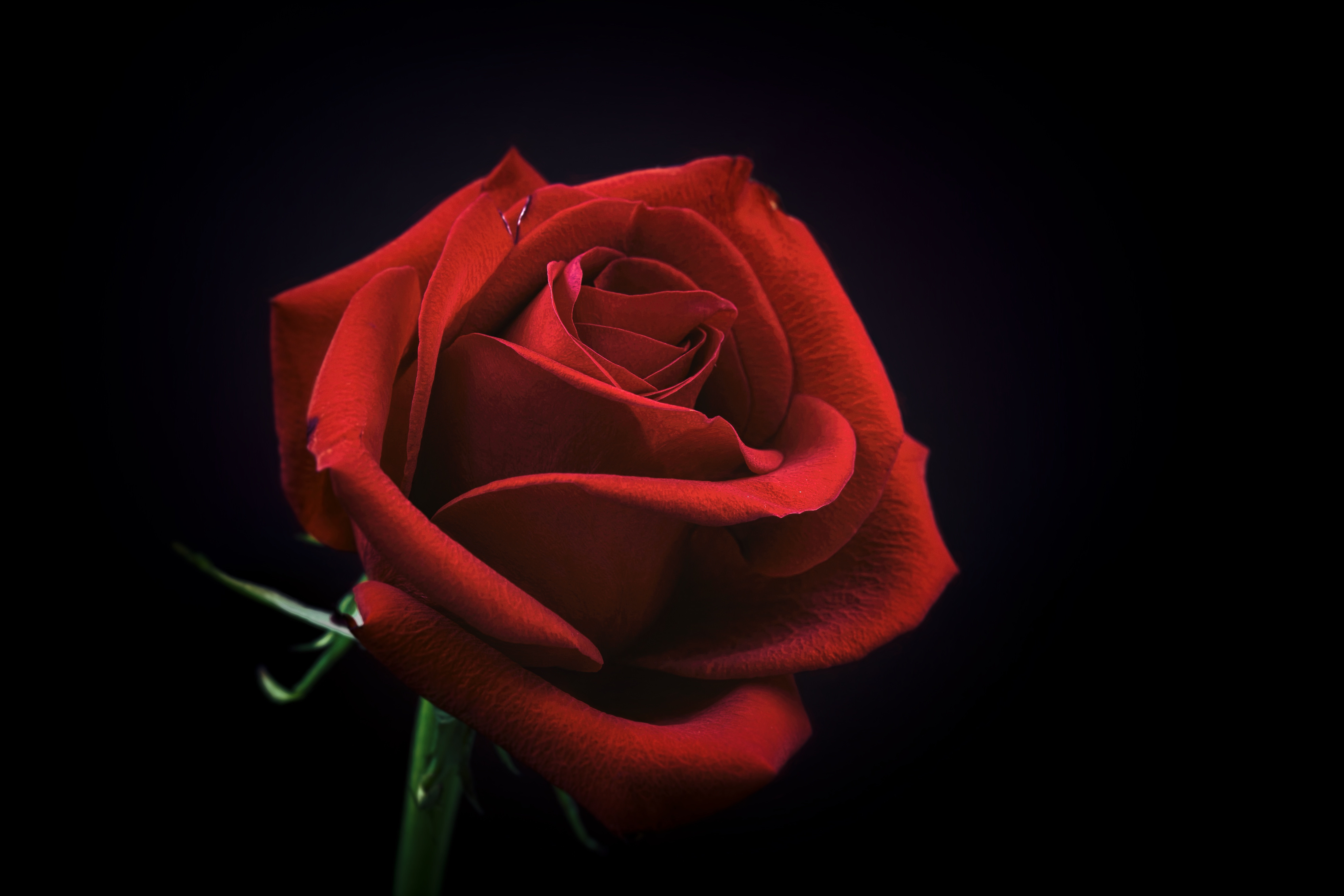 143560 download wallpaper Flowers, Rose Flower, Rose, Bud, Petals, Black Background screensavers and pictures for free