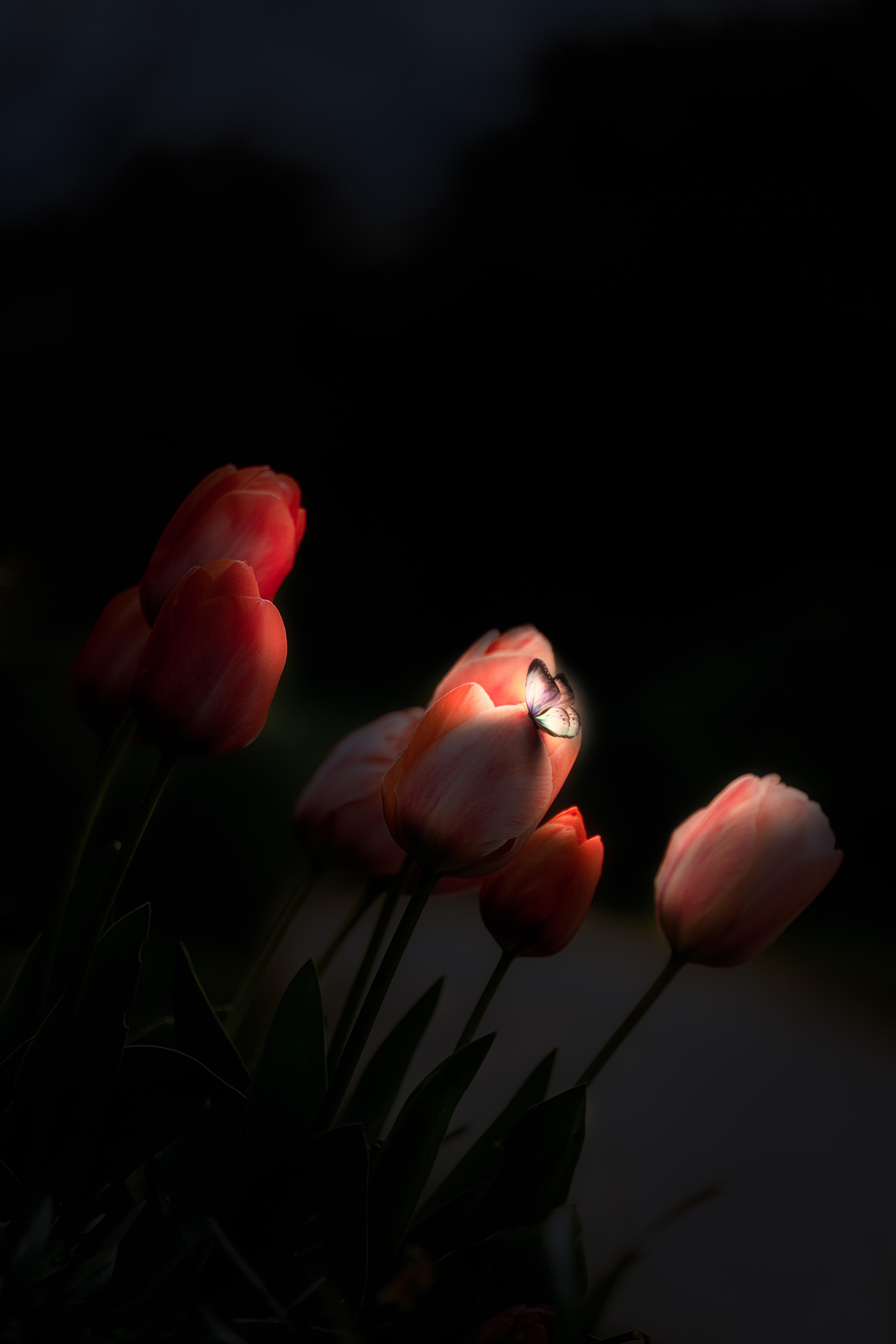 80733 скачать обои Темные, Бабочка, Свечение, Ночь, Цветы, Тюльпаны - заставки и картинки бесплатно