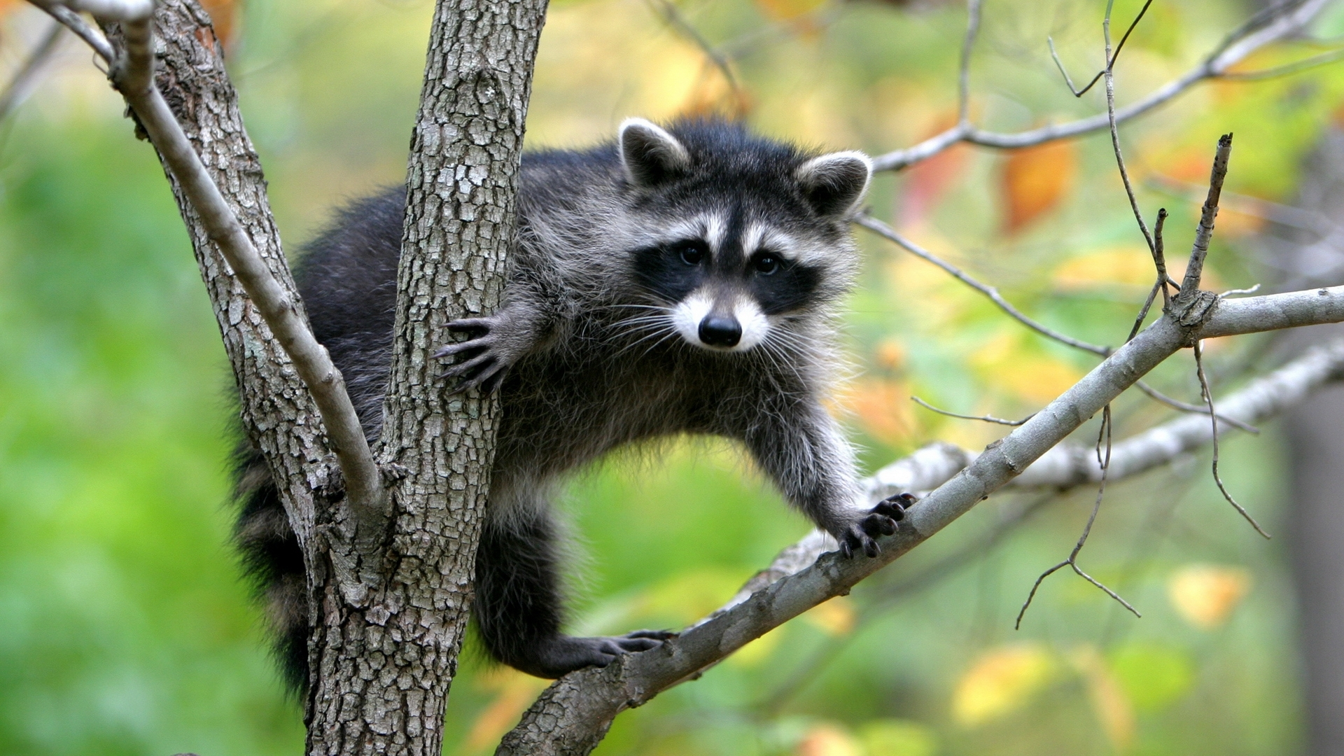 48994 download wallpaper Animals, Raccoons screensavers and pictures for free