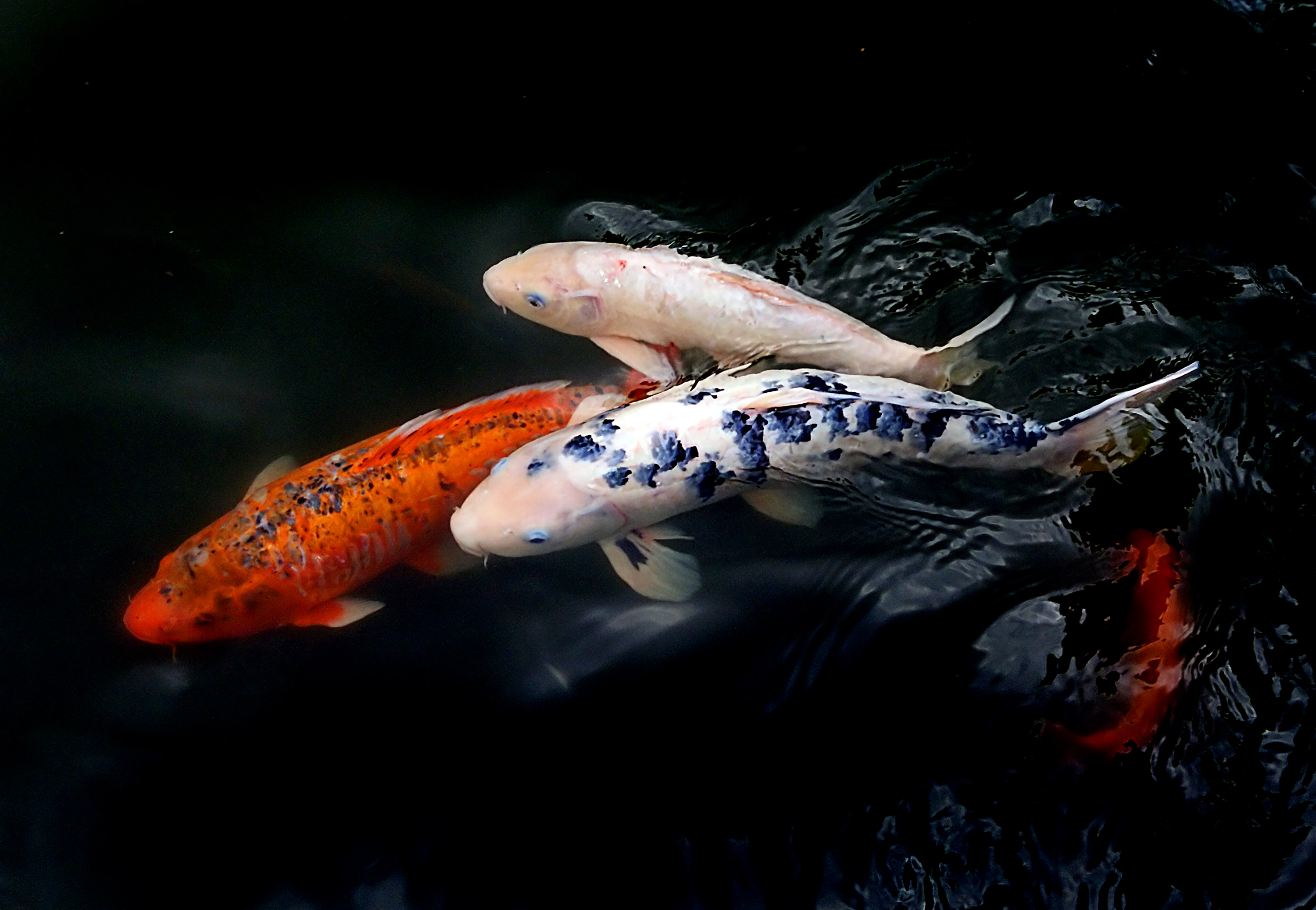66174 download wallpaper Animals, Water, Fishes, Ripples, Ripple, Koi Fish screensavers and pictures for free