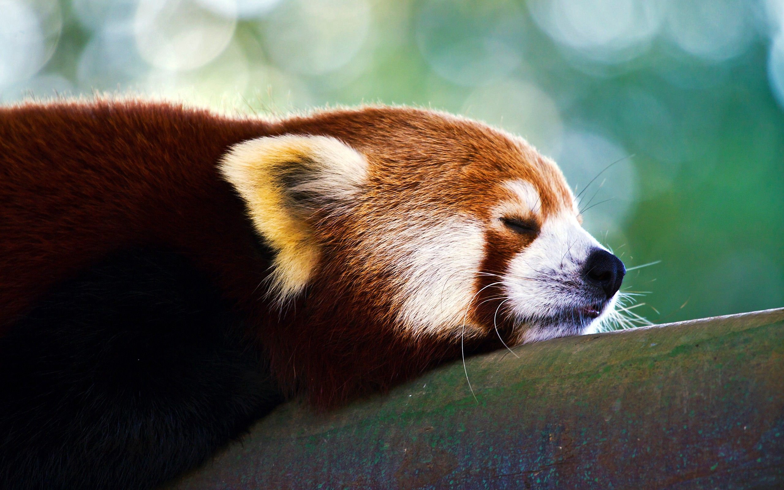 147906 download wallpaper Animals, Panda, Sleep, Dream, Muzzle screensavers and pictures for free