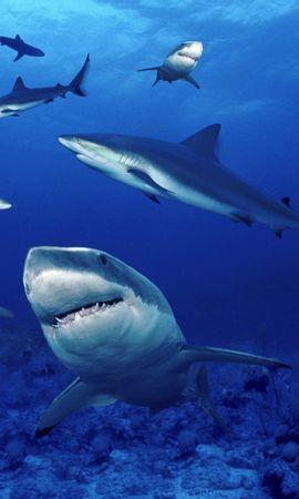 6786 baixar papel de parede Animais, Água, Sharks, Peixes - protetores de tela e imagens gratuitamente