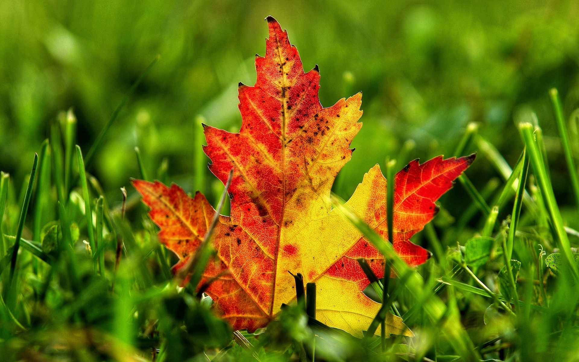 29890 download wallpaper Plants, Autumn, Leaves screensavers and pictures for free