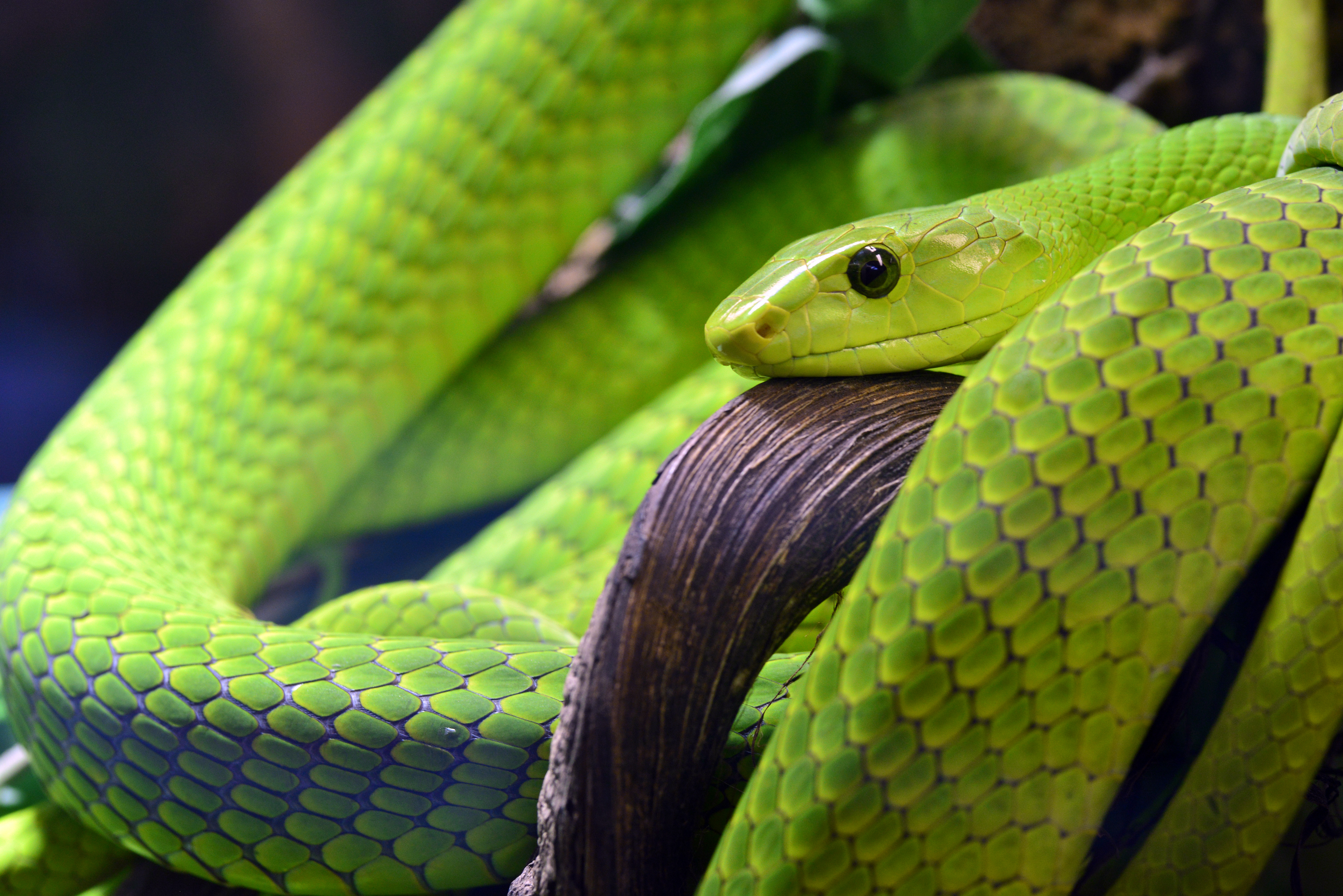 126957 Screensavers and Wallpapers Snake for phone. Download Animals, Snake, Scales, Scale, Eye pictures for free