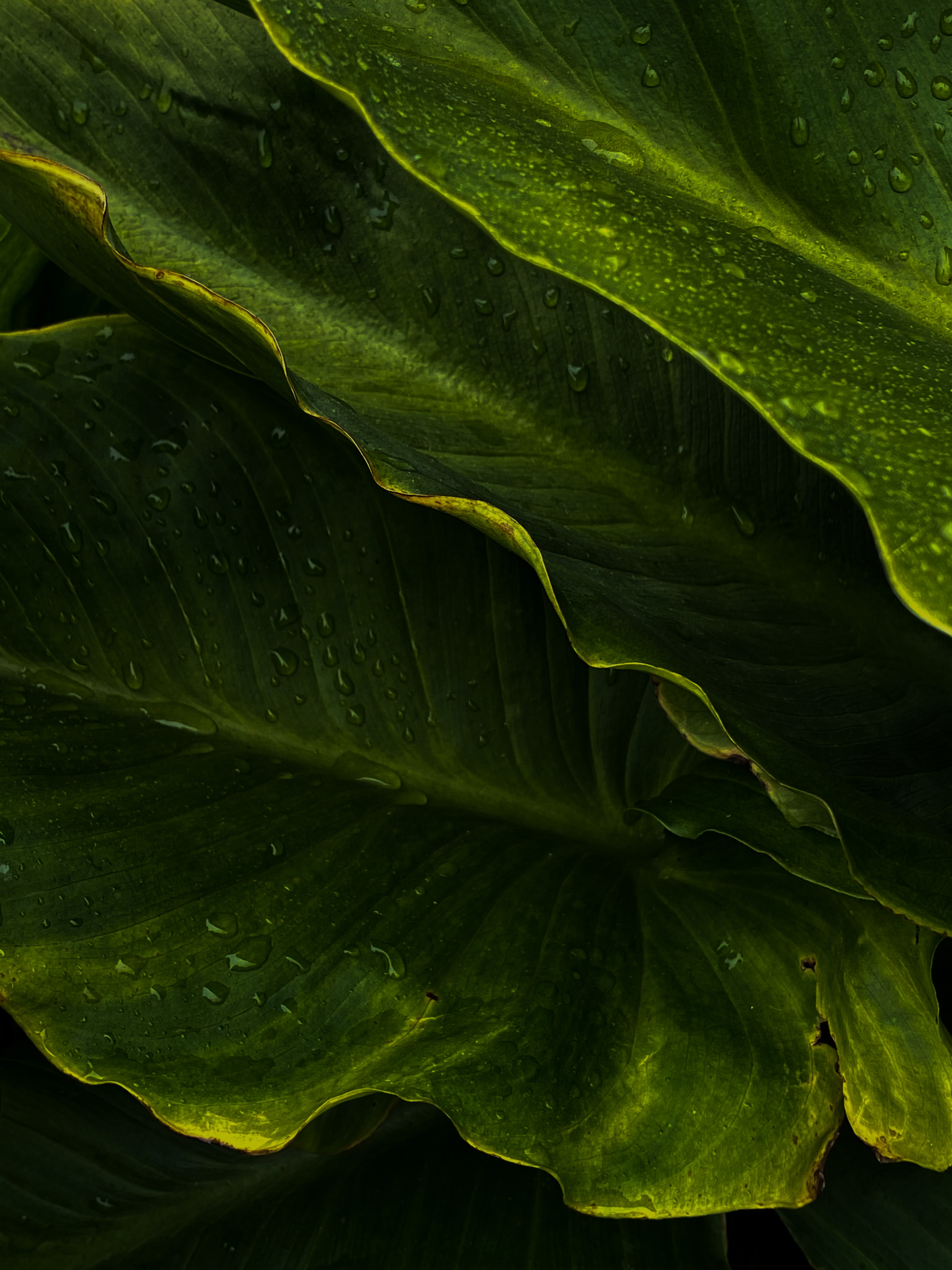 80062 download wallpaper Macro, Leaves, Drops, Wet, Tropics screensavers and pictures for free