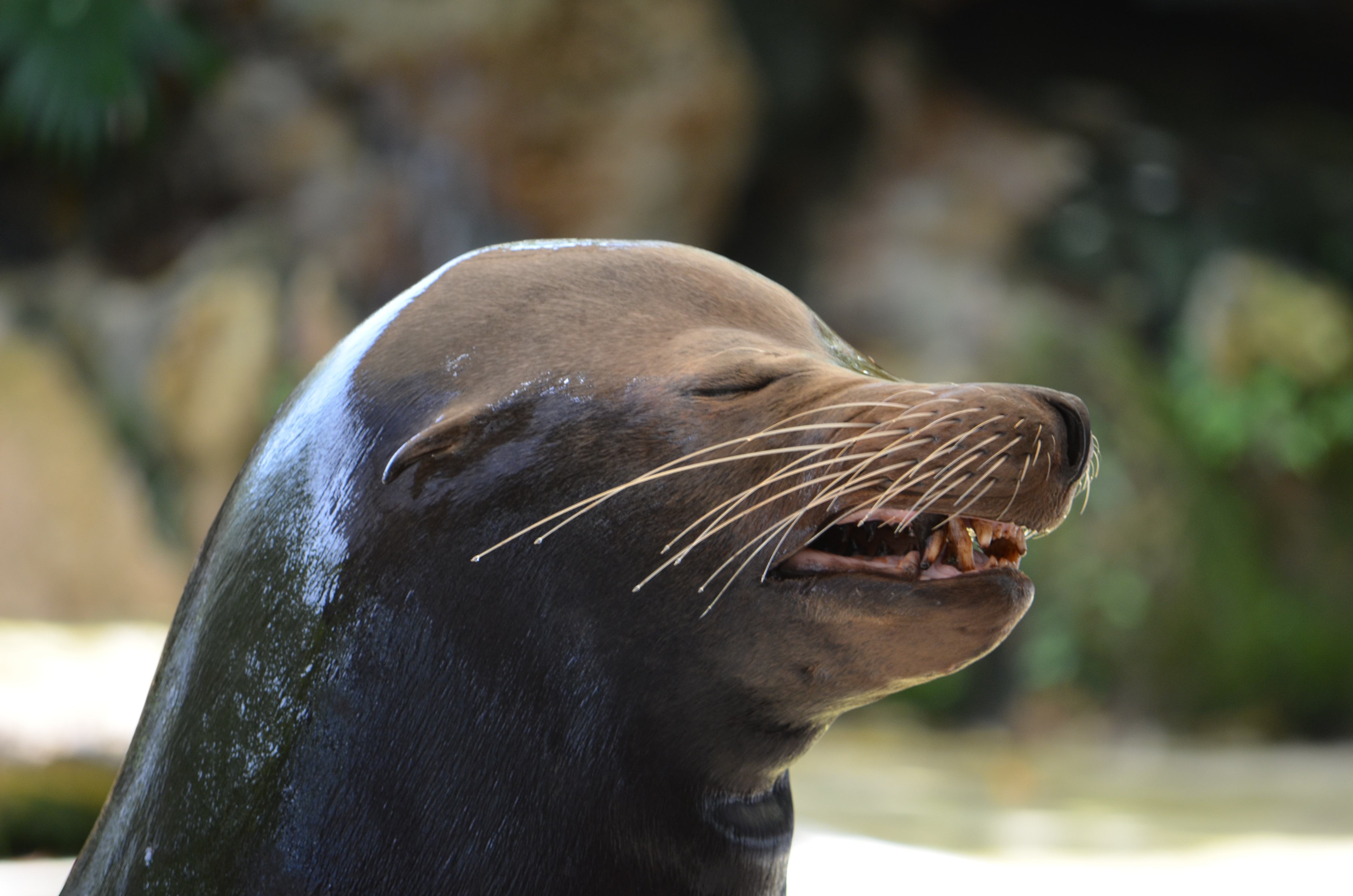 131816 download wallpaper Animals, Muzzle, Wet, Emotions, Sea Lion screensavers and pictures for free