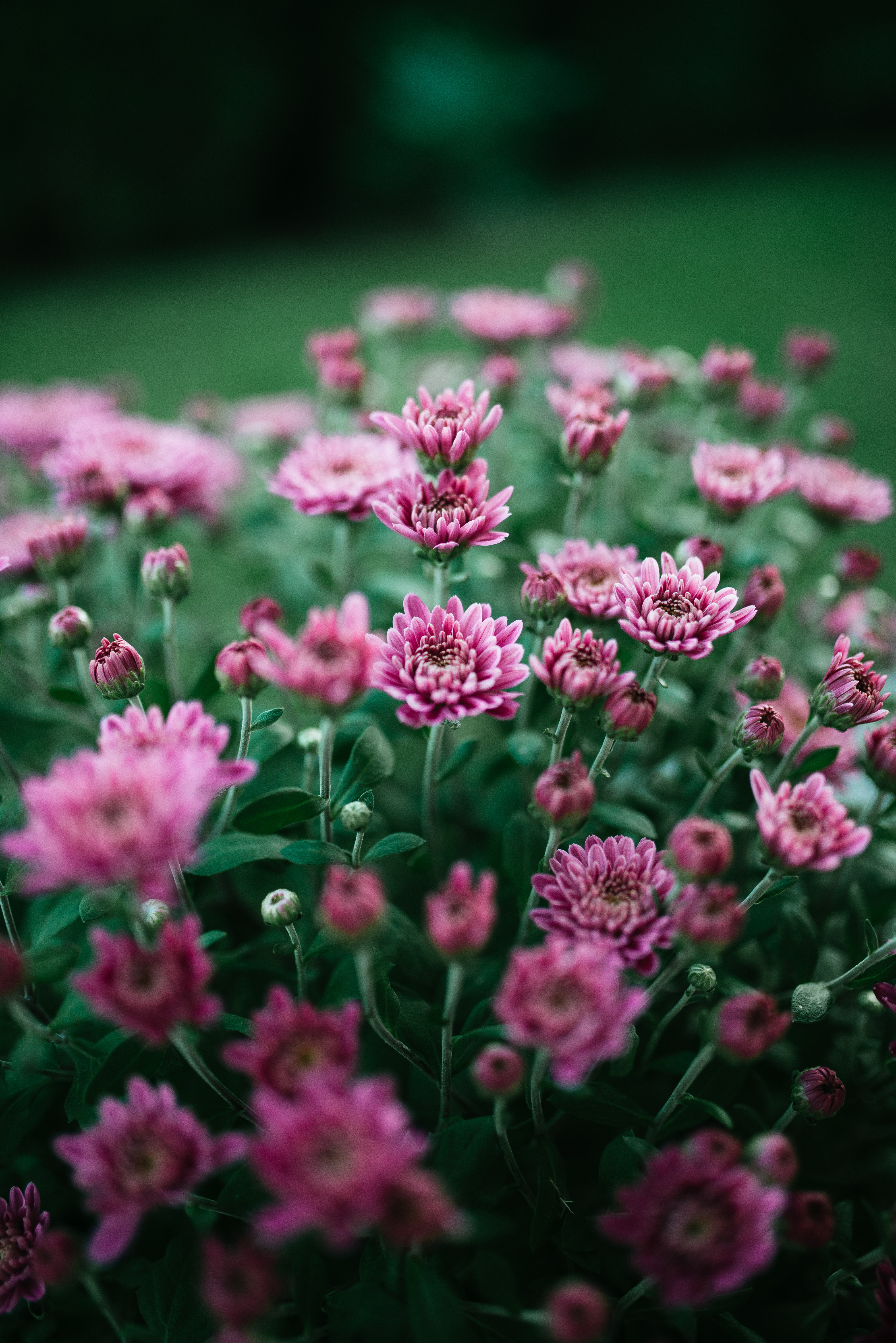 54827 download wallpaper Flowers, Chrysanthemum, Flower, Bloom, Flowering, Purple, Violet screensavers and pictures for free