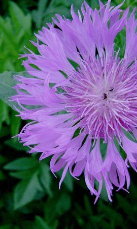 41731 descargar fondo de pantalla Plantas, Flores, Violeta: protectores de pantalla e imágenes gratis