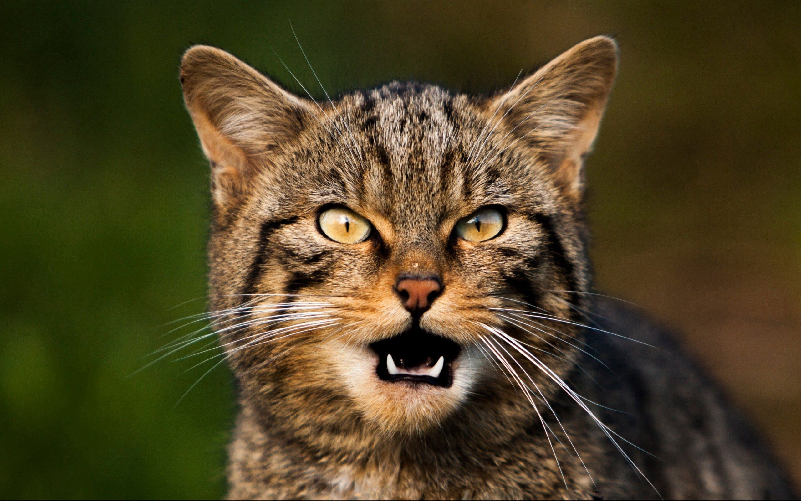 71014 Hintergrundbild herunterladen Tiere, Der Kater, Katze, Schnauze, Sicht, Meinung, Schnurrbart, Schrei, Weinen - Bildschirmschoner und Bilder kostenlos
