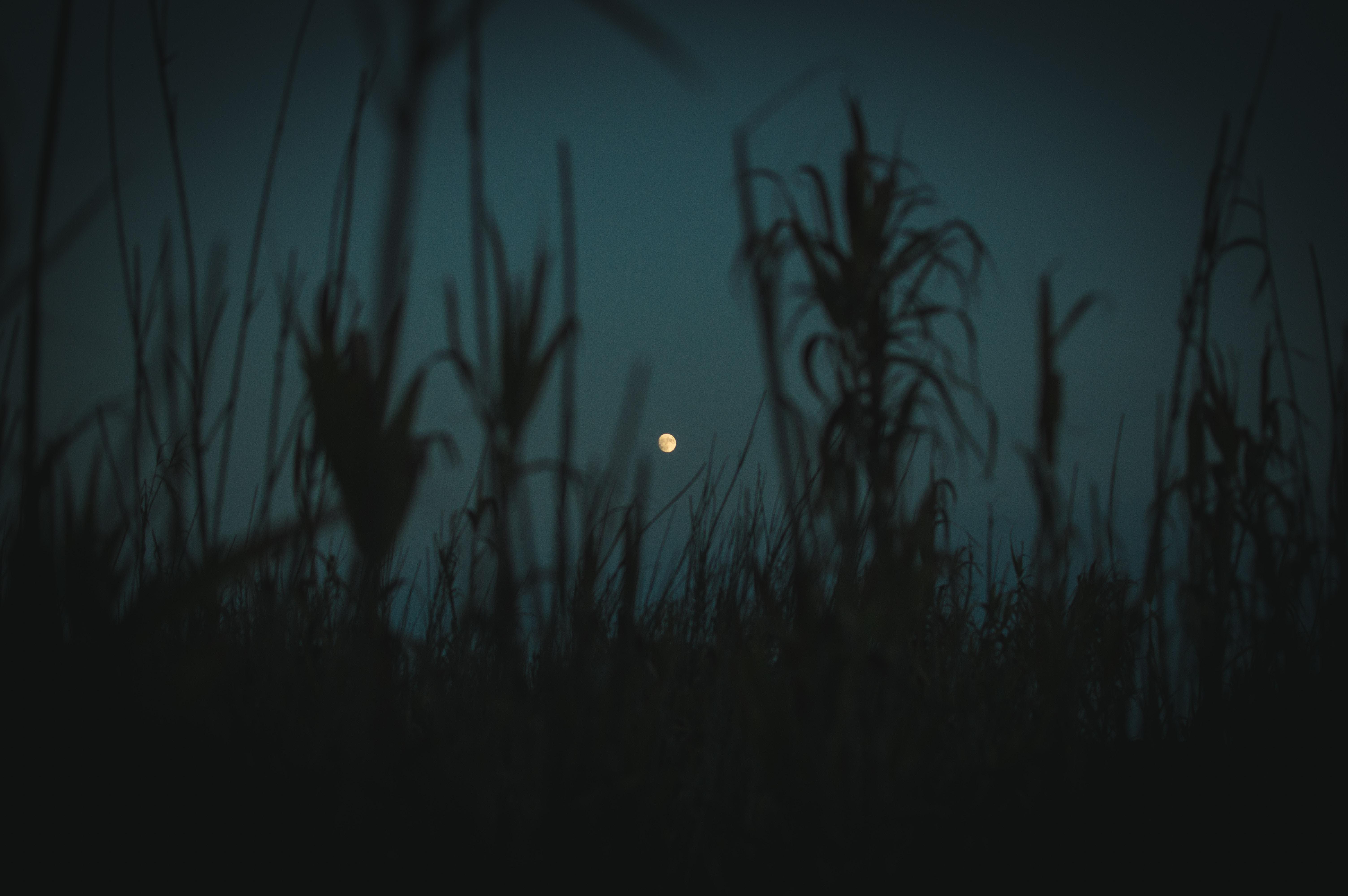 72595 скачать обои Темные, Ночь, Луна, Сумерки, Трава, Растения, Очертания - заставки и картинки бесплатно