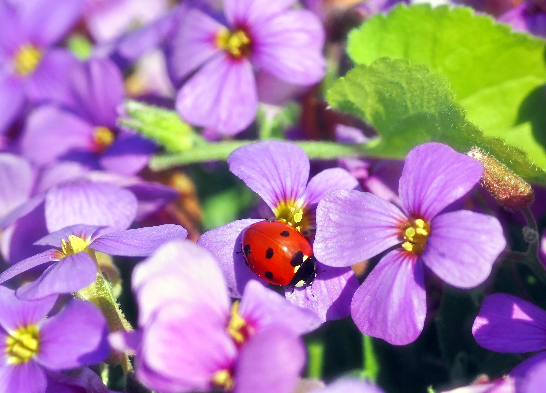 手機的130610屏保和壁紙昆虫。 免費下載 宏, 瓢虫, 昆虫, 花卉 圖片