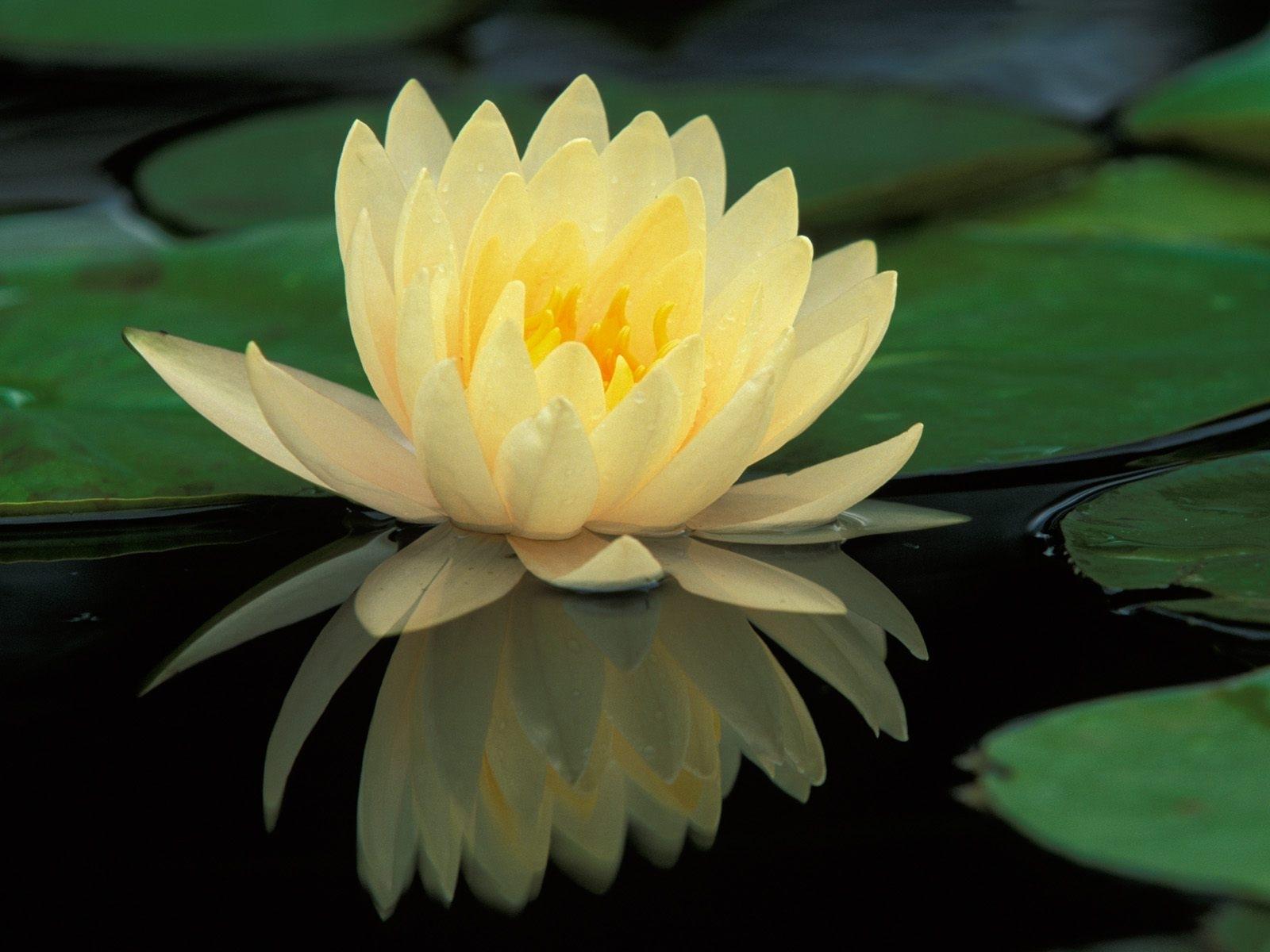 5923 télécharger le fond d'écran Plantes, Fleurs, Lilies - économiseurs d'écran et images gratuitement
