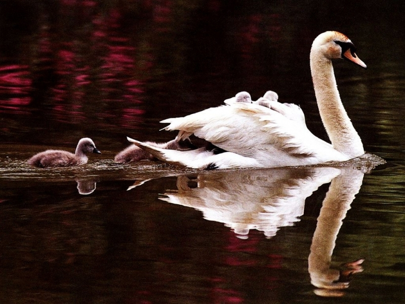 37511 download wallpaper Animals, Birds, Swans screensavers and pictures for free