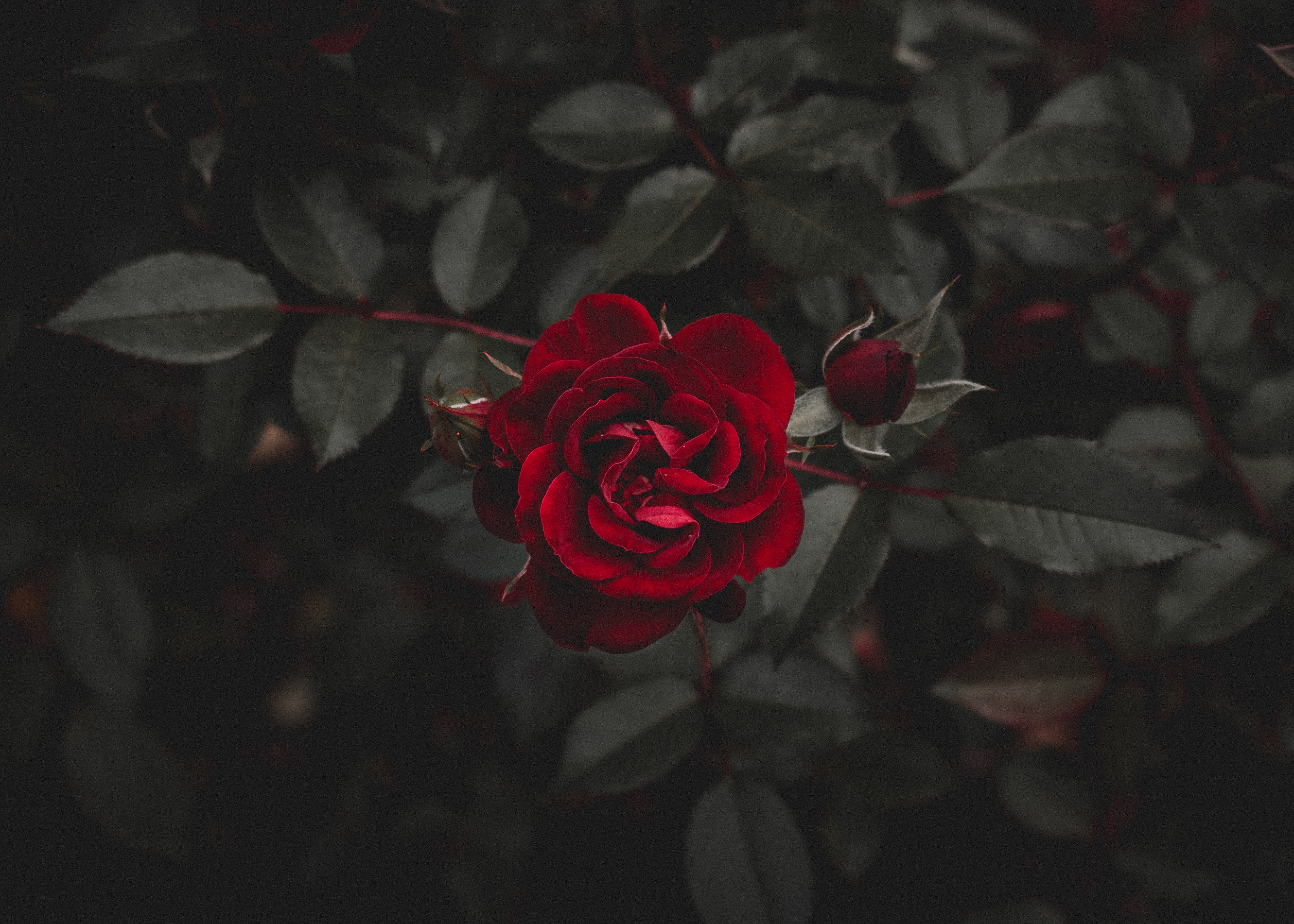 116984 download wallpaper Flowers, Flower, Rose Flower, Rose, Bud screensavers and pictures for free