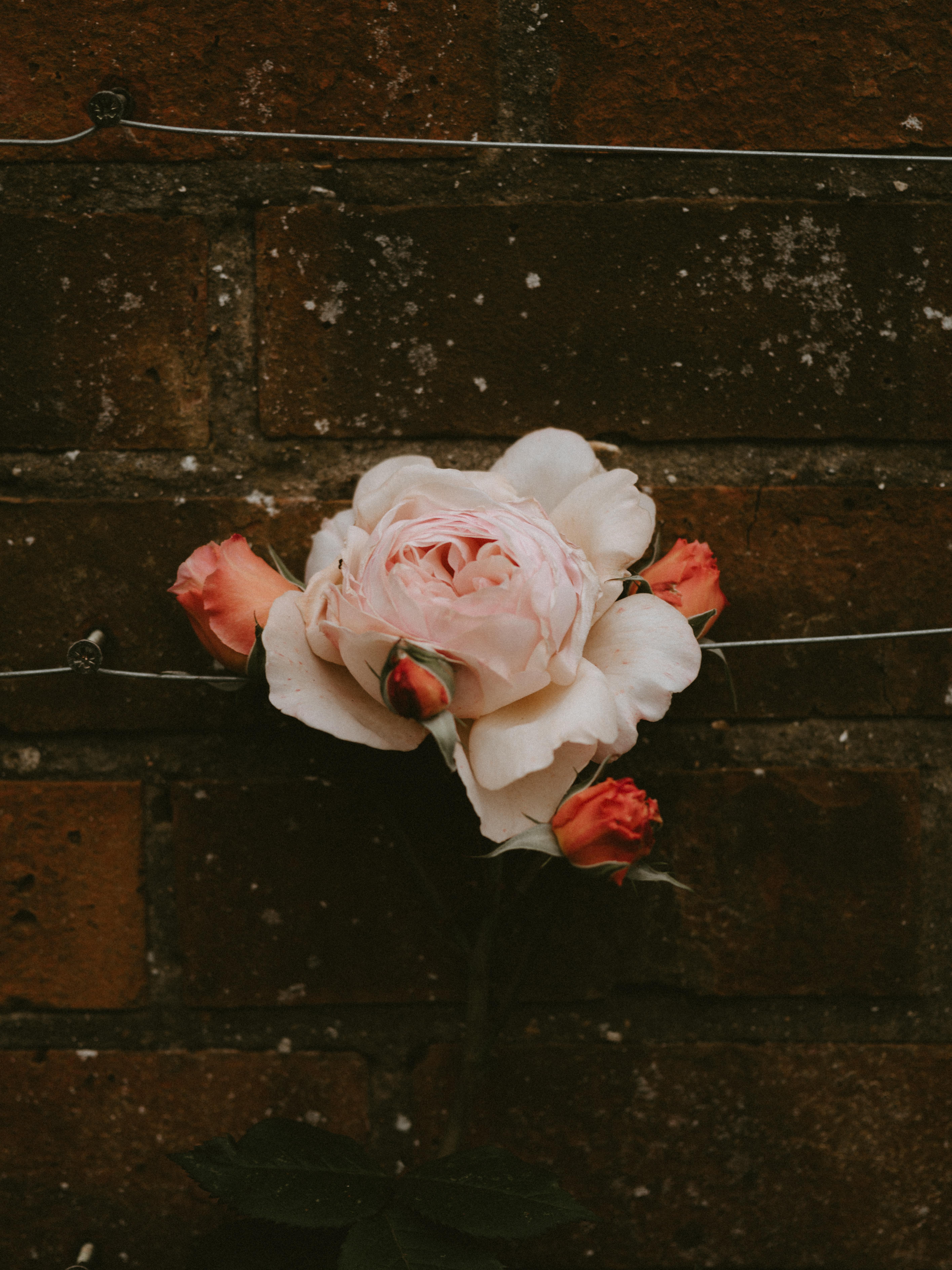 57936 скачать обои Цветы, Цветок, Роза, Цветение, Стена, Розовый, Бутоны, Кирпичный - заставки и картинки бесплатно