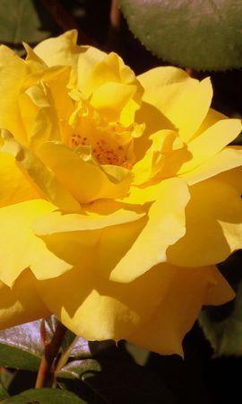 26843 скачать обои Растения, Цветы, Розы - заставки и картинки бесплатно