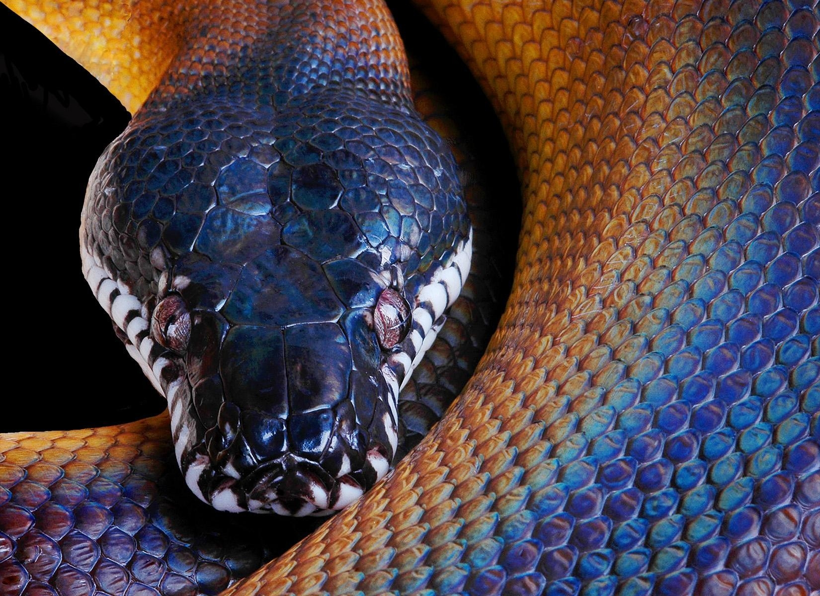 144749 download wallpaper Animals, Snake, Python, Color, Head screensavers and pictures for free