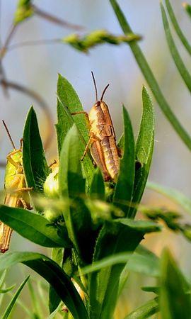 29067 Salvapantallas y fondos de pantalla Insectos en tu teléfono. Descarga imágenes de Insectos, Grasshoppers gratis