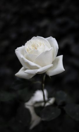 108813 завантажити Білий шпалери на телефон безкоштовно, Квіти, Роза, Троянда, Квітка, Чб, Цвітіння Білий картинки і заставки на мобільний