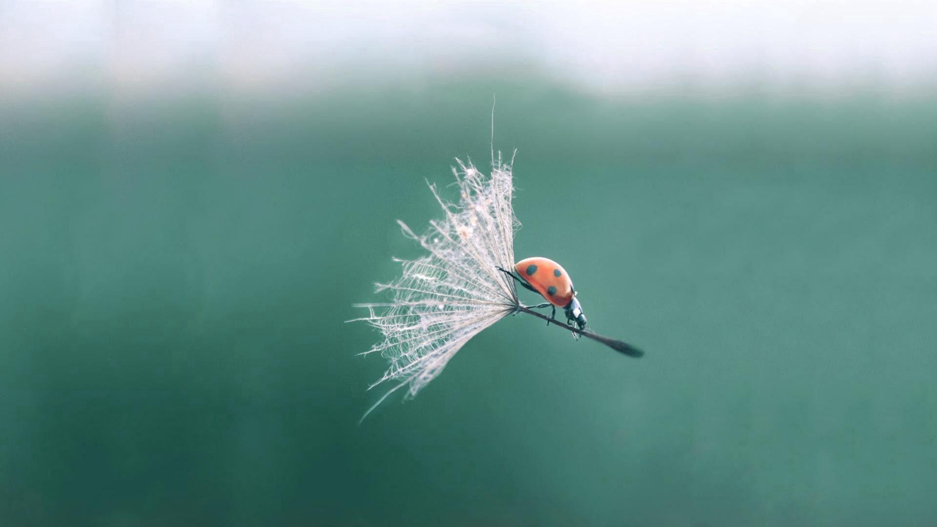 134687 Hintergrundbild herunterladen Marienkäfer, Makro, Insekt, Flug, Ladybird - Bildschirmschoner und Bilder kostenlos
