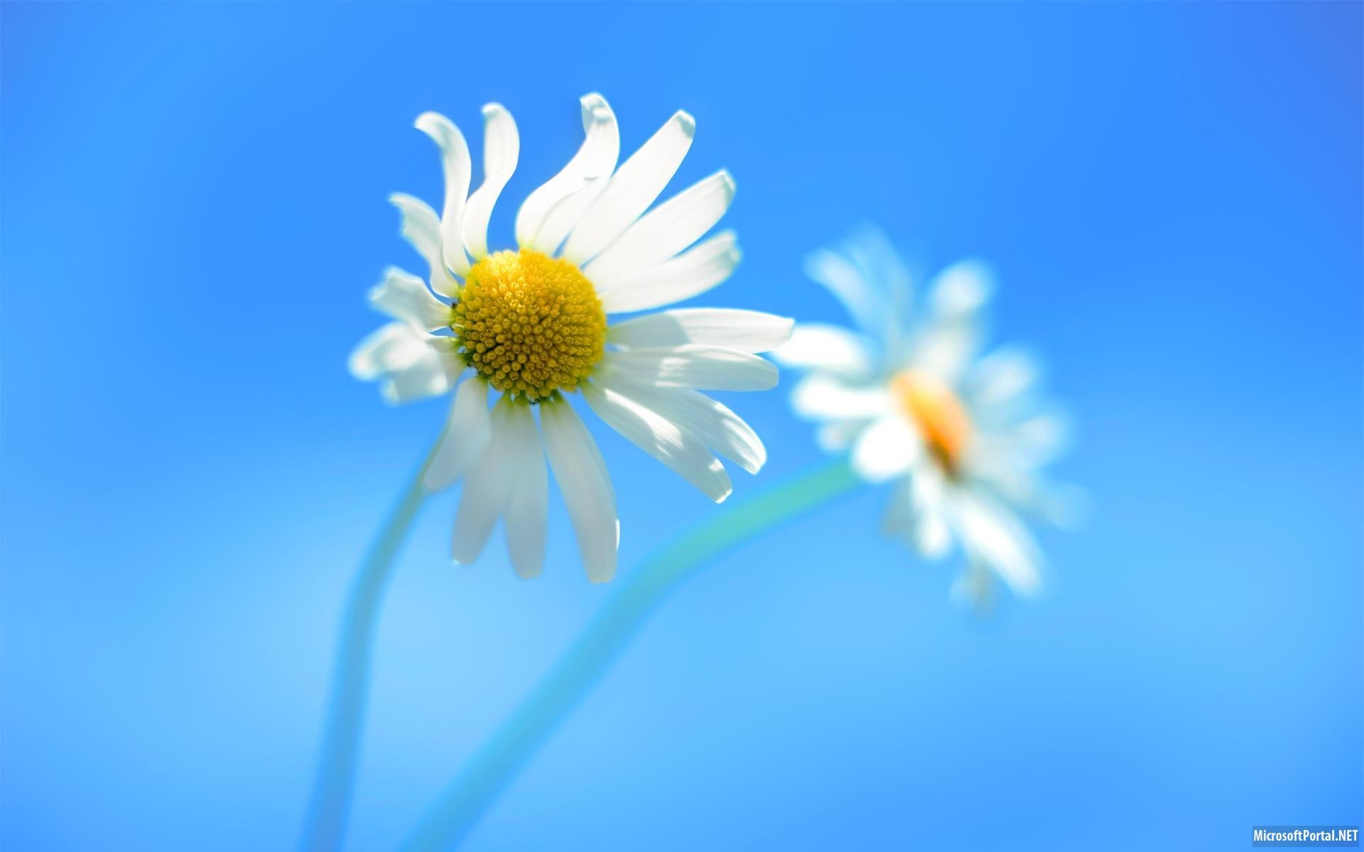17358 скачать обои Растения, Цветы, Фон, Ромашки - заставки и картинки бесплатно