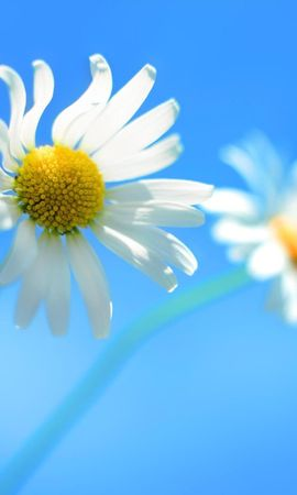 17358 download wallpaper Plants, Flowers, Background, Camomile screensavers and pictures for free