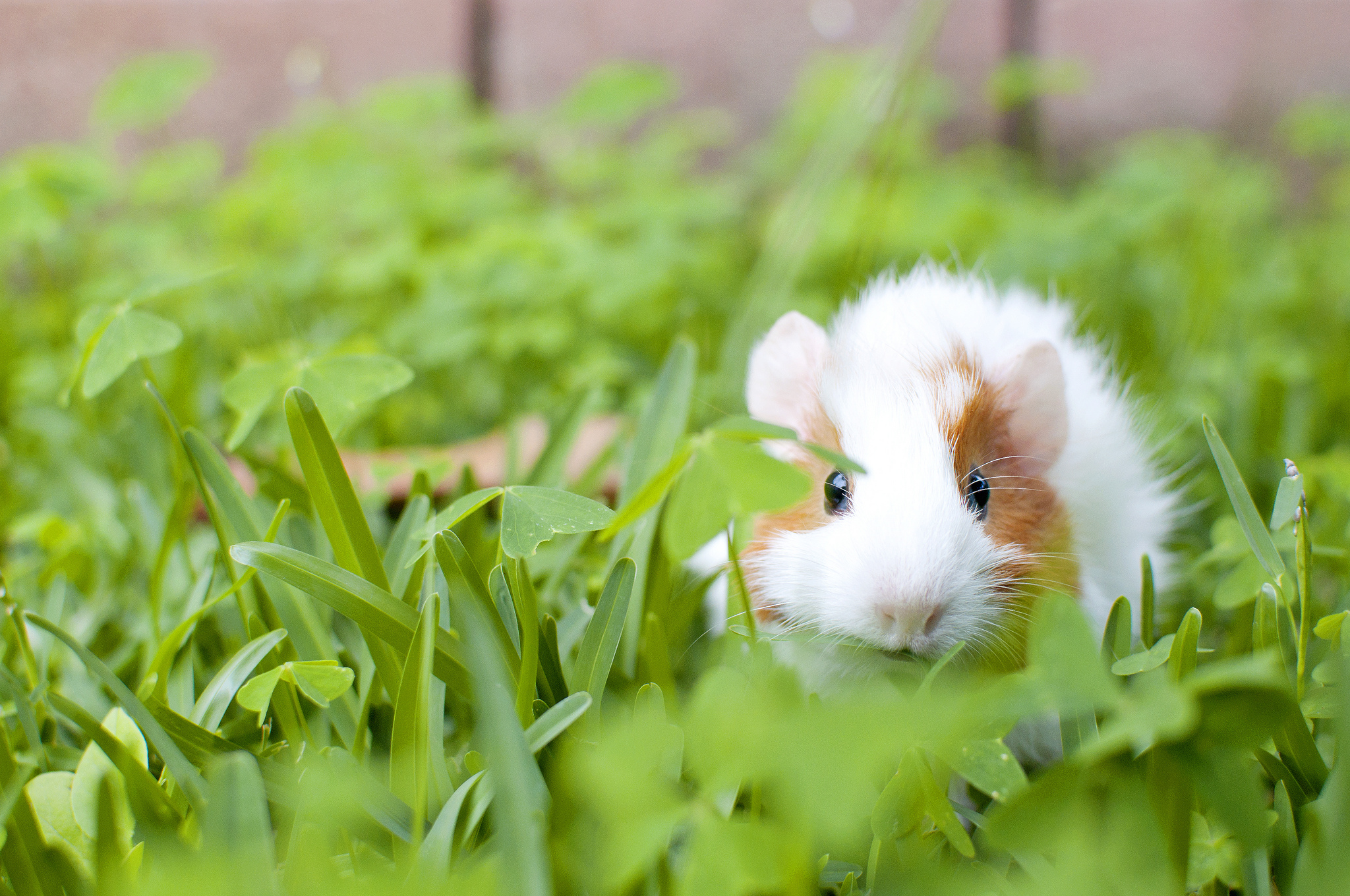 81797 download wallpaper Animals, Guinea Pig, Animal, Rodent, Grass screensavers and pictures for free