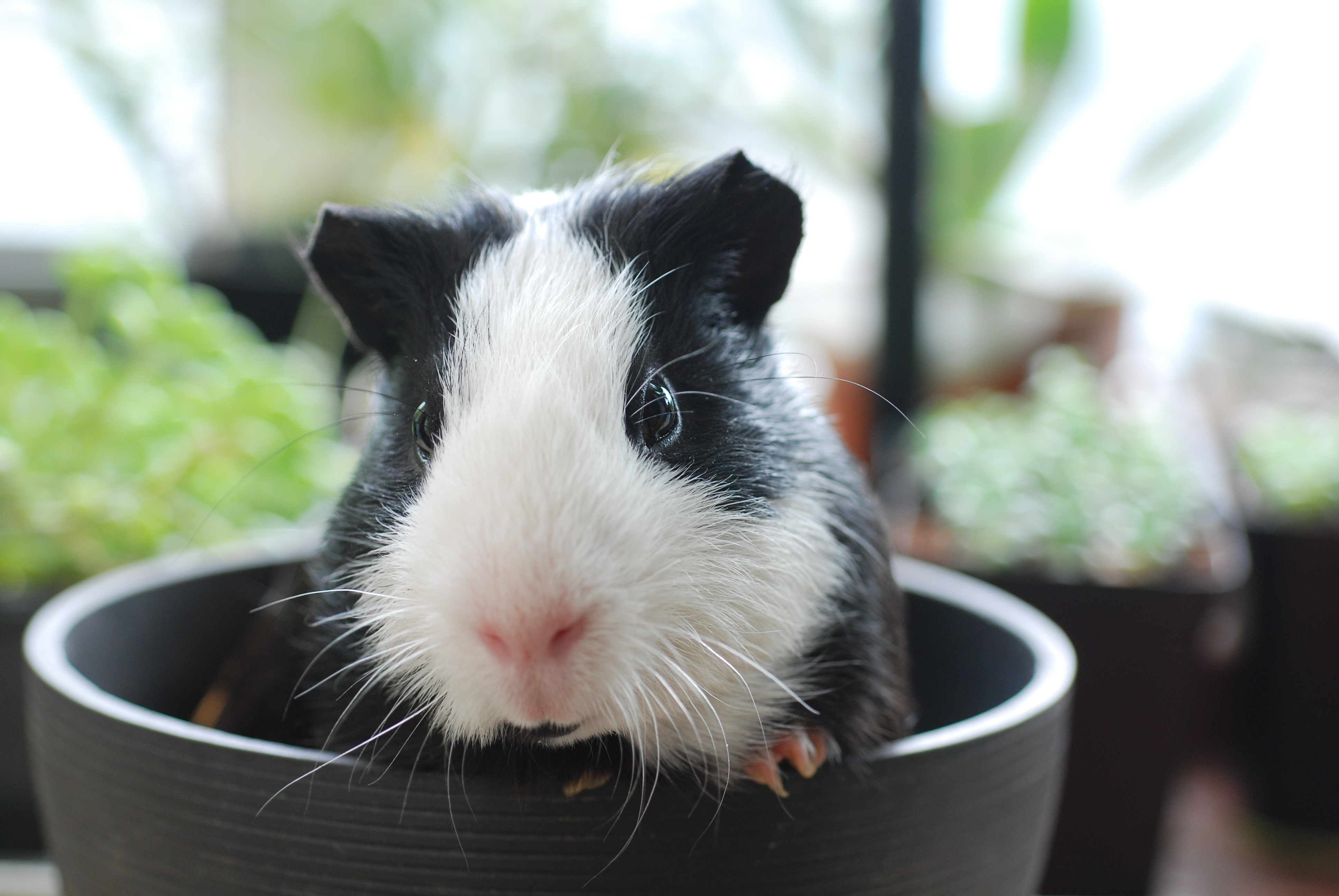 152586 Screensavers and Wallpapers Beautiful for phone. Download Animals, Muzzle, Beautiful, Sight, Opinion, Guinea Pig pictures for free