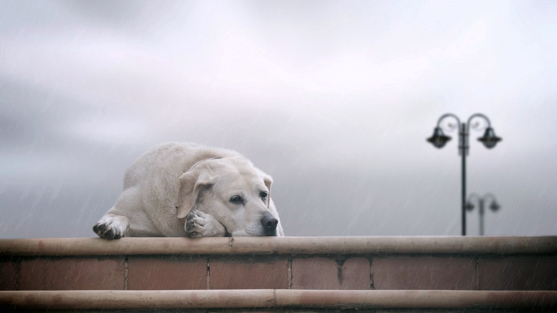 122805 download wallpaper Animals, Dog, Labrador, To Lie Down, Lie, Fog, Expectation, Waiting, Sadness, Sorrow screensavers and pictures for free