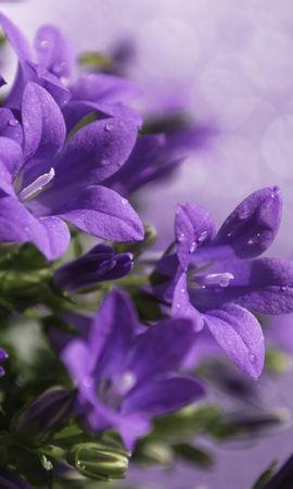 11840 baixar papel de parede Plantas, Flores, Violeta - protetores de tela e imagens gratuitamente