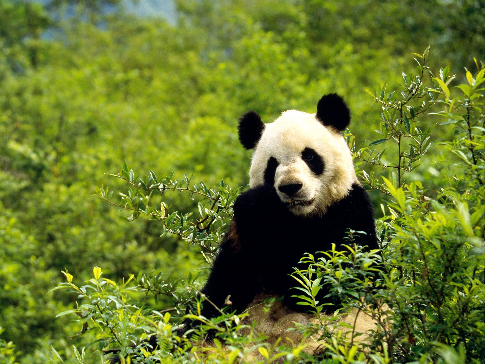 16334 download wallpaper Animals, Bears, Pandas screensavers and pictures for free