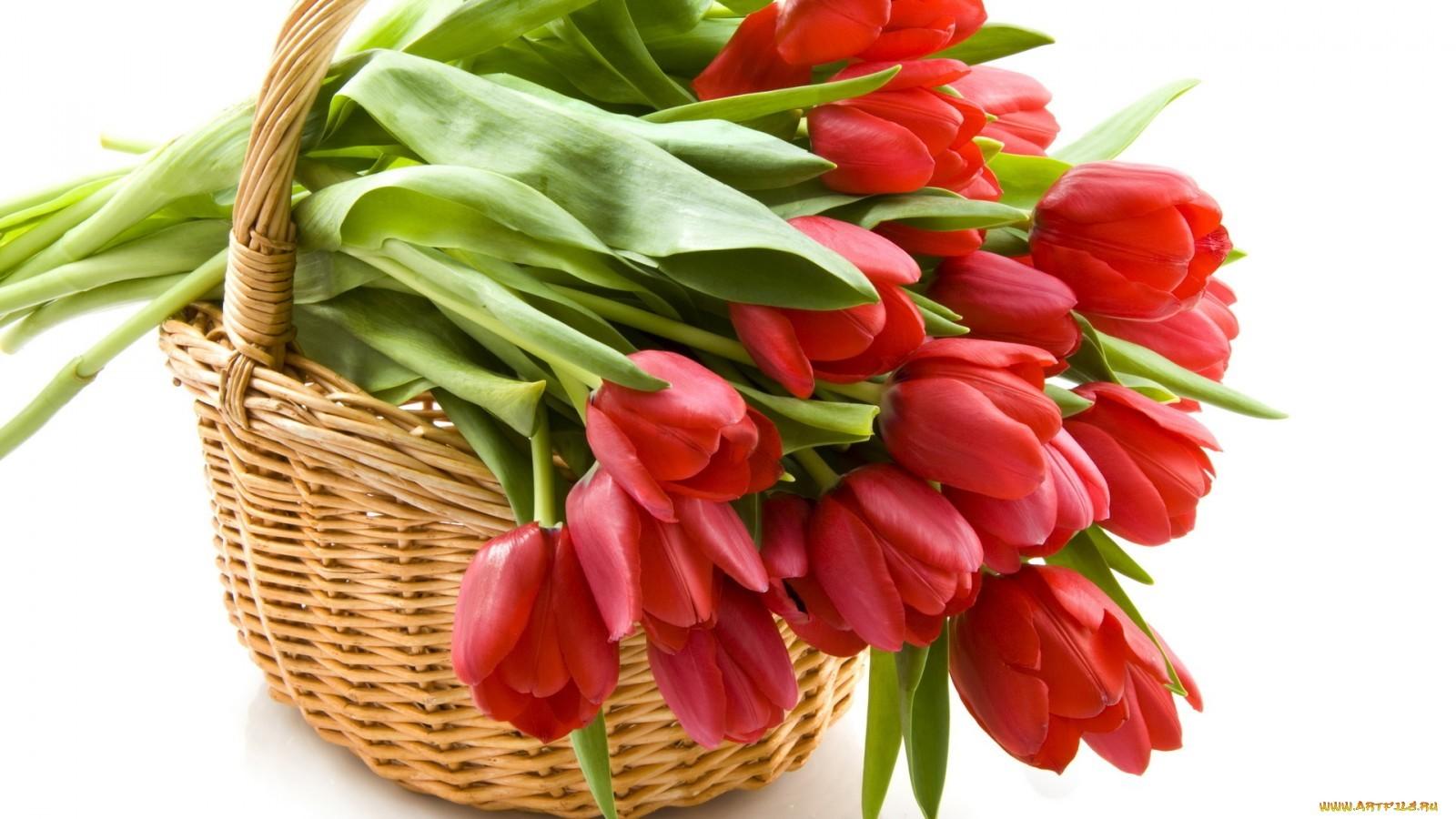 14695 скачать обои Растения, Цветы, Тюльпаны - заставки и картинки бесплатно
