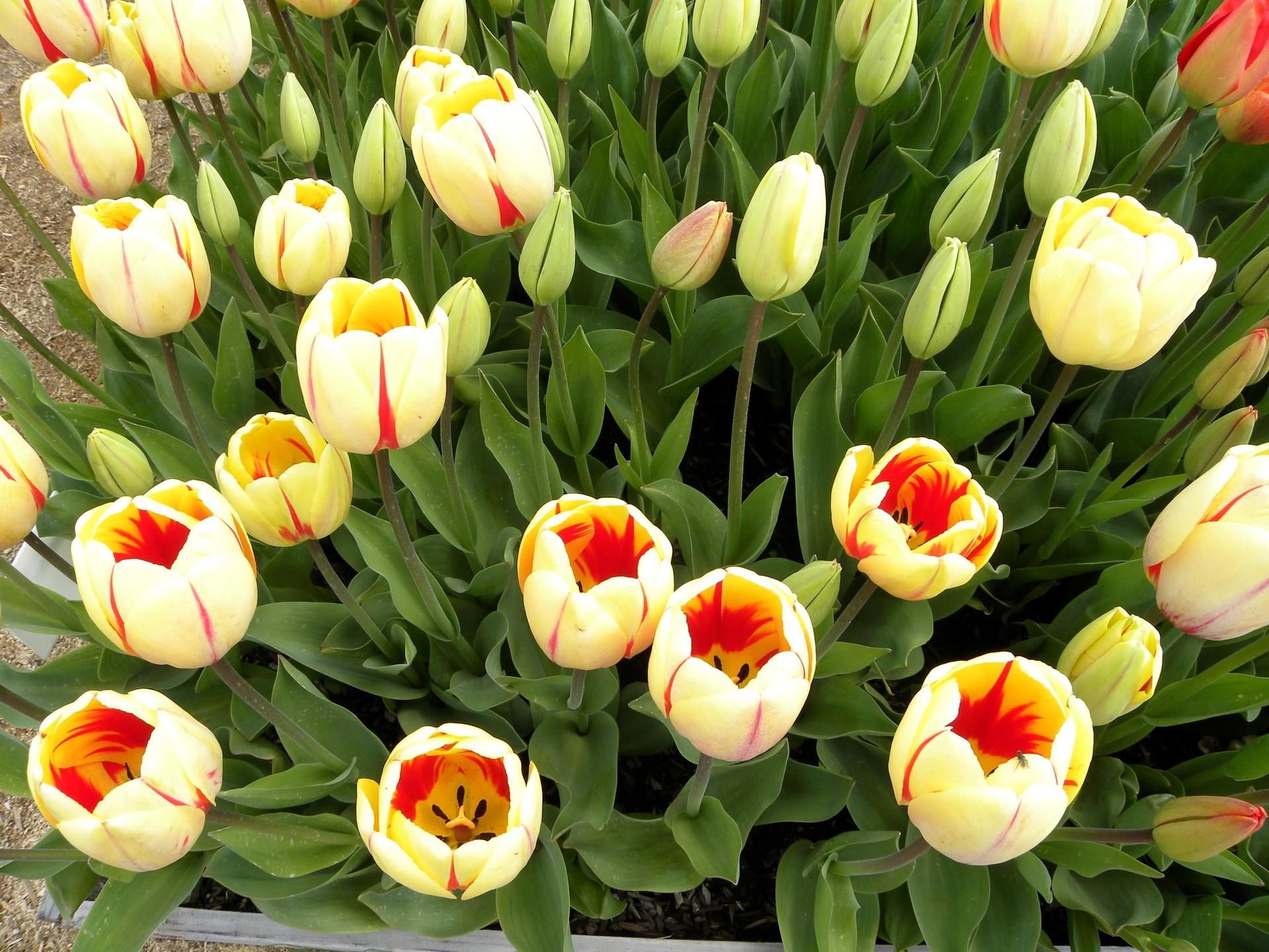 142788 скачать обои Цветы, Бутоны, Зелень, Рассада, Тюльпаны - заставки и картинки бесплатно