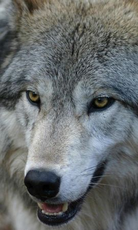 103371 download wallpaper Animals, Muzzle, Predator, Wolf, Sight, Opinion screensavers and pictures for free