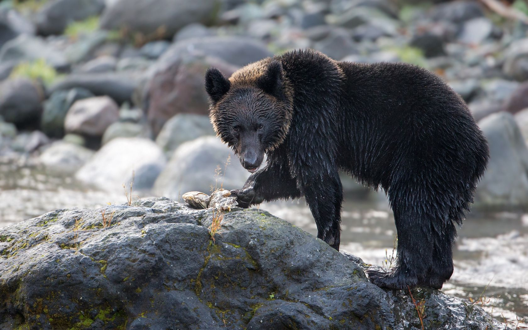 102765 Screensavers and Wallpapers Bear for phone. Download Animals, Rivers, Rock, Bear, Stone pictures for free