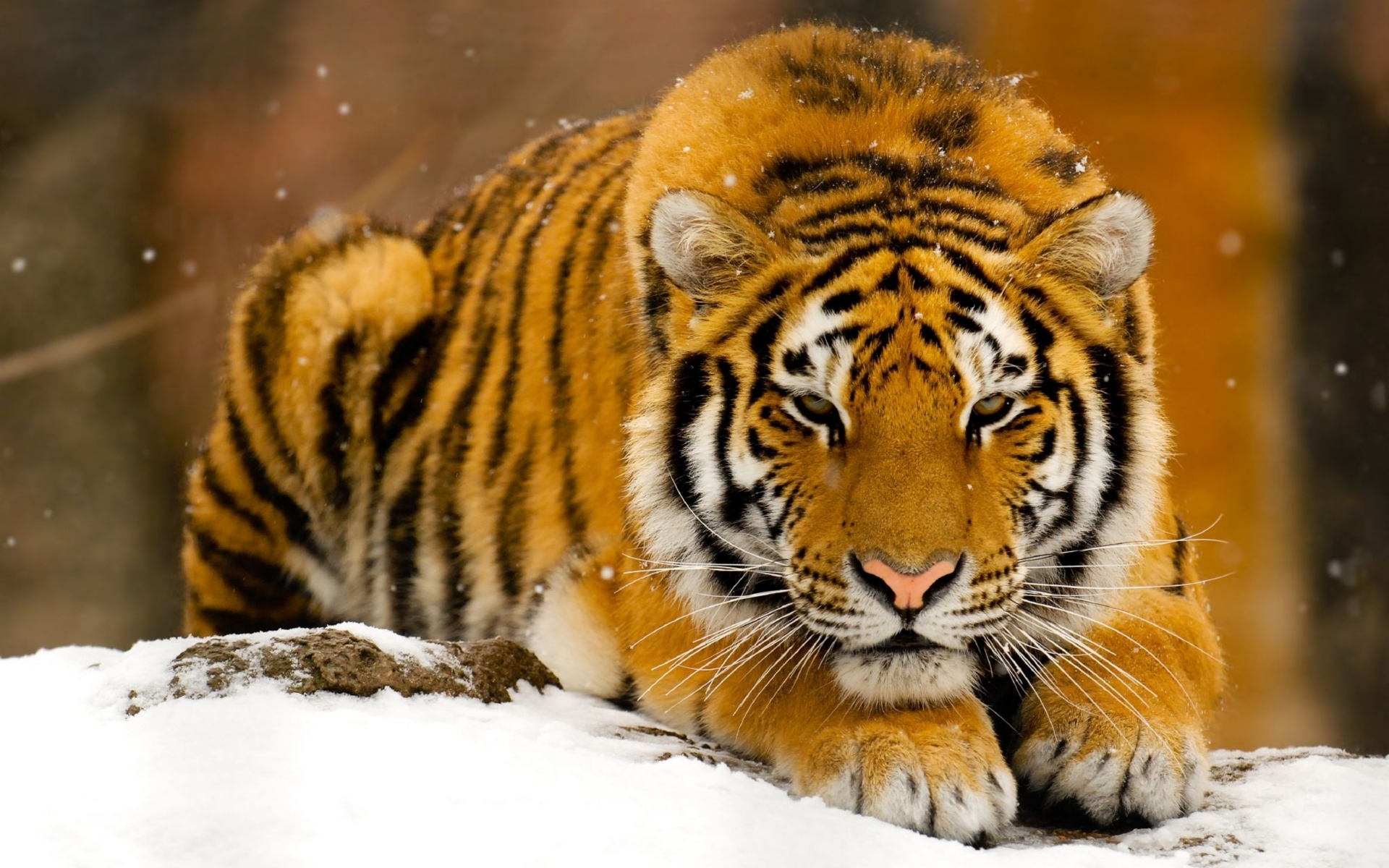 41459 download wallpaper Animals, Winter, Tigers screensavers and pictures for free
