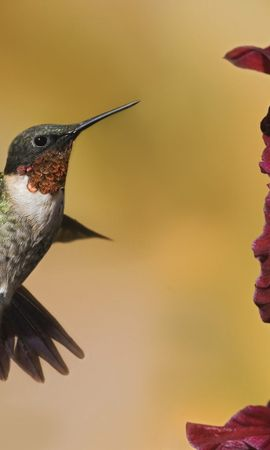 7181 download wallpaper Animals, Birds, Humming-Birds screensavers and pictures for free