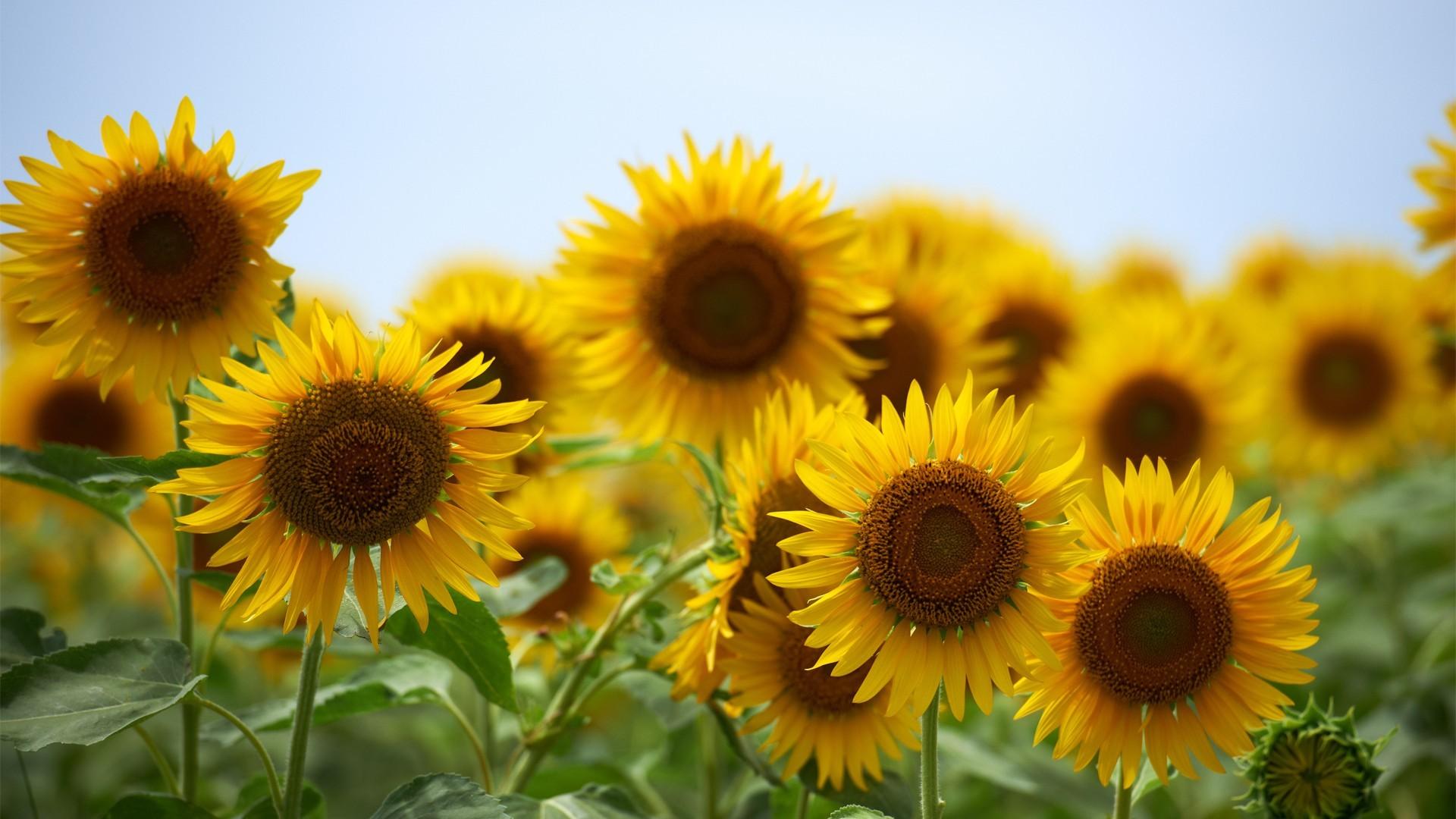 48844 скачать обои Растения, Подсолнухи - заставки и картинки бесплатно
