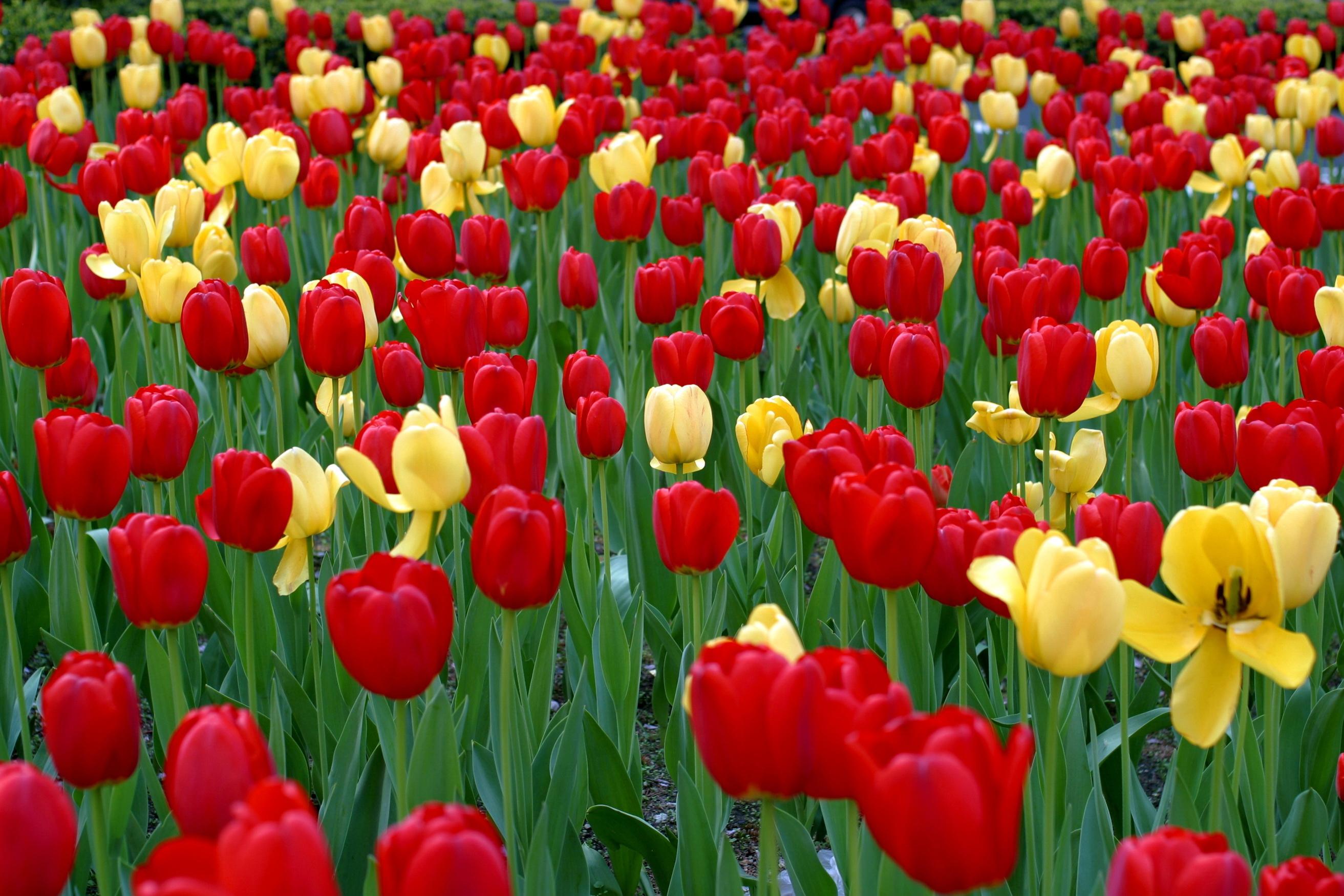 130704 descargar fondo de pantalla Flores, Verduras, Cama De Flores, Parterre, Primavera, Tulipanes: protectores de pantalla e imágenes gratis