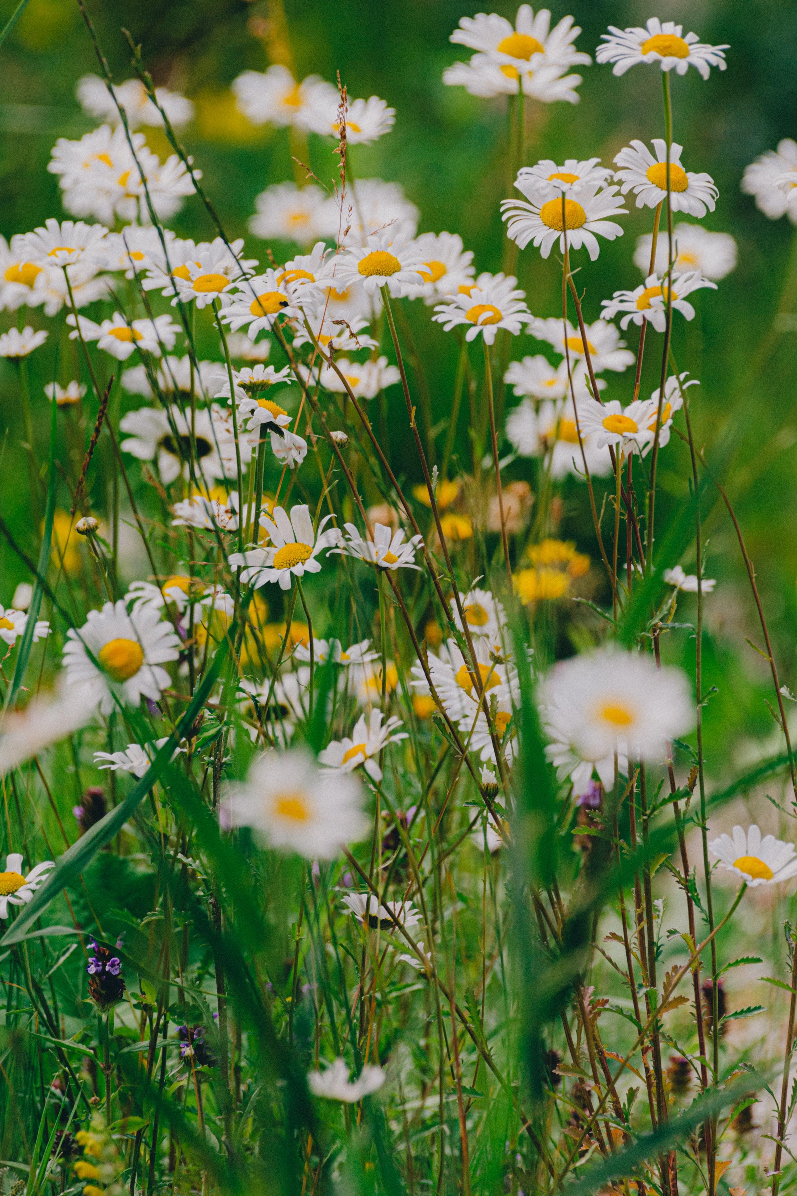 149020 Заставки и Обои Ромашки на телефон. Скачать Цветы, Ромашки, Полевые Цветы, Трава картинки бесплатно