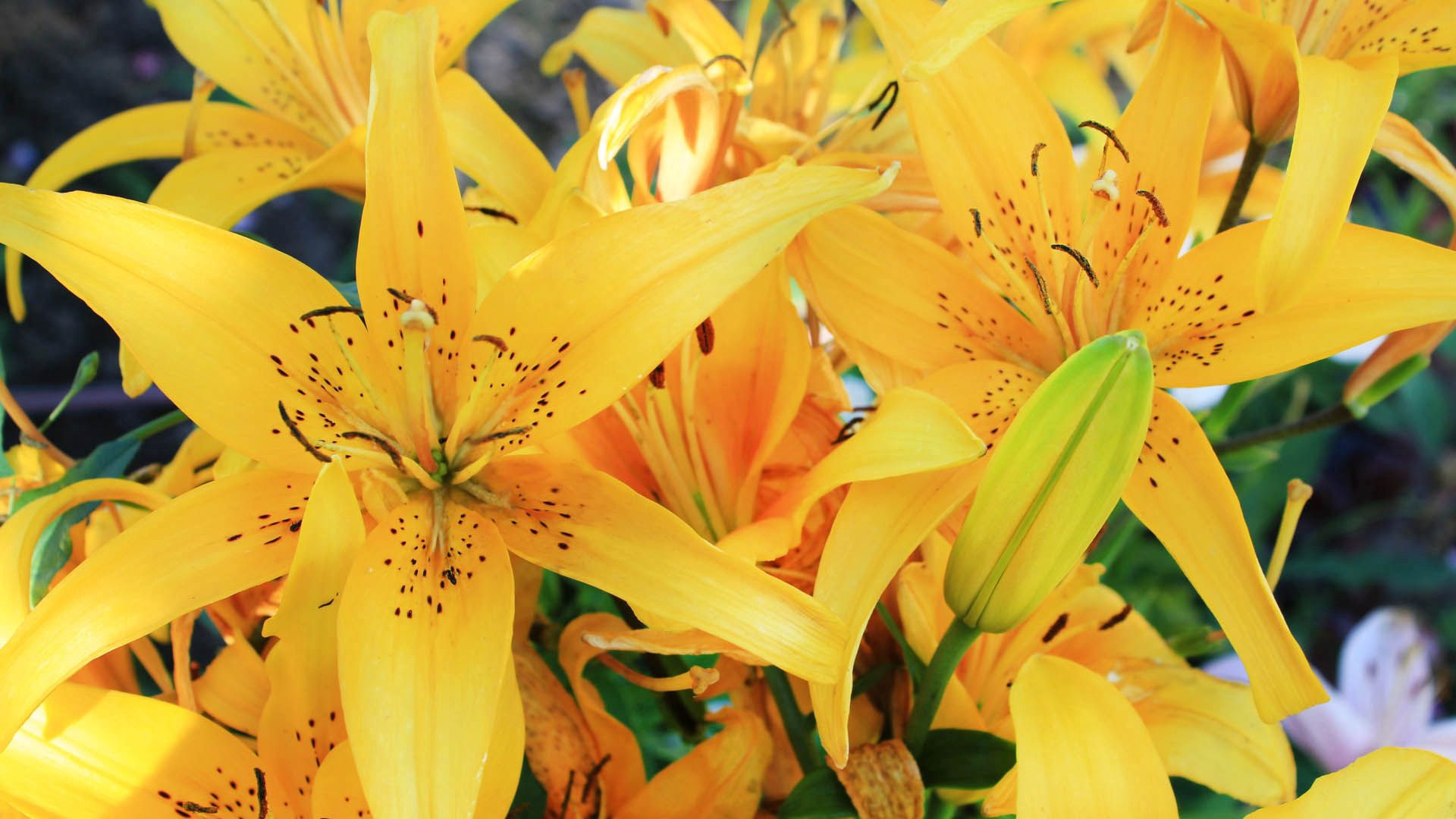 131572 download wallpaper Lilies, Macro, Bud, Striped screensavers and pictures for free