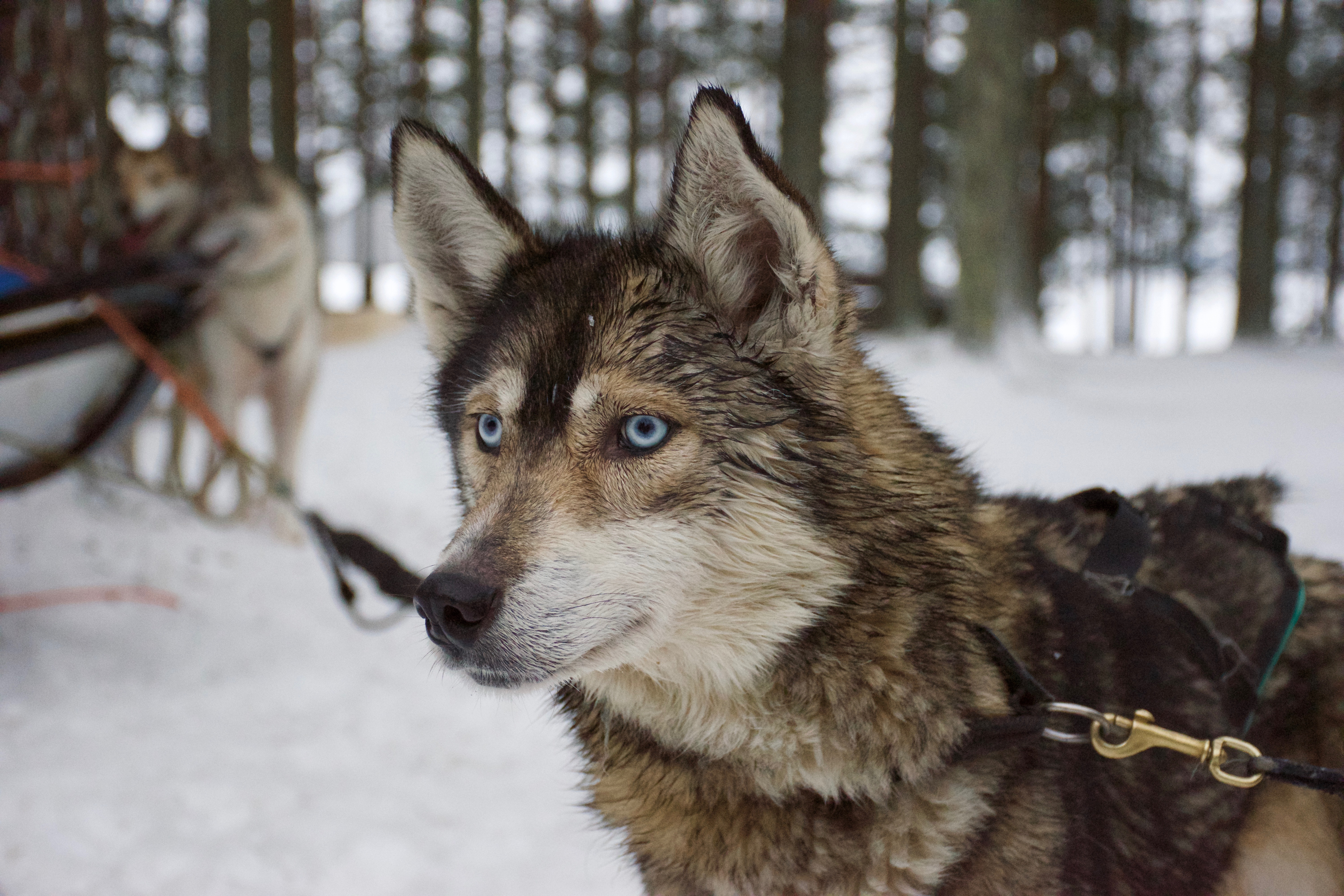 136877 download wallpaper Animals, Husky, Haska, Muzzle, Dog, Blue Eyed, Blue-Eyed screensavers and pictures for free