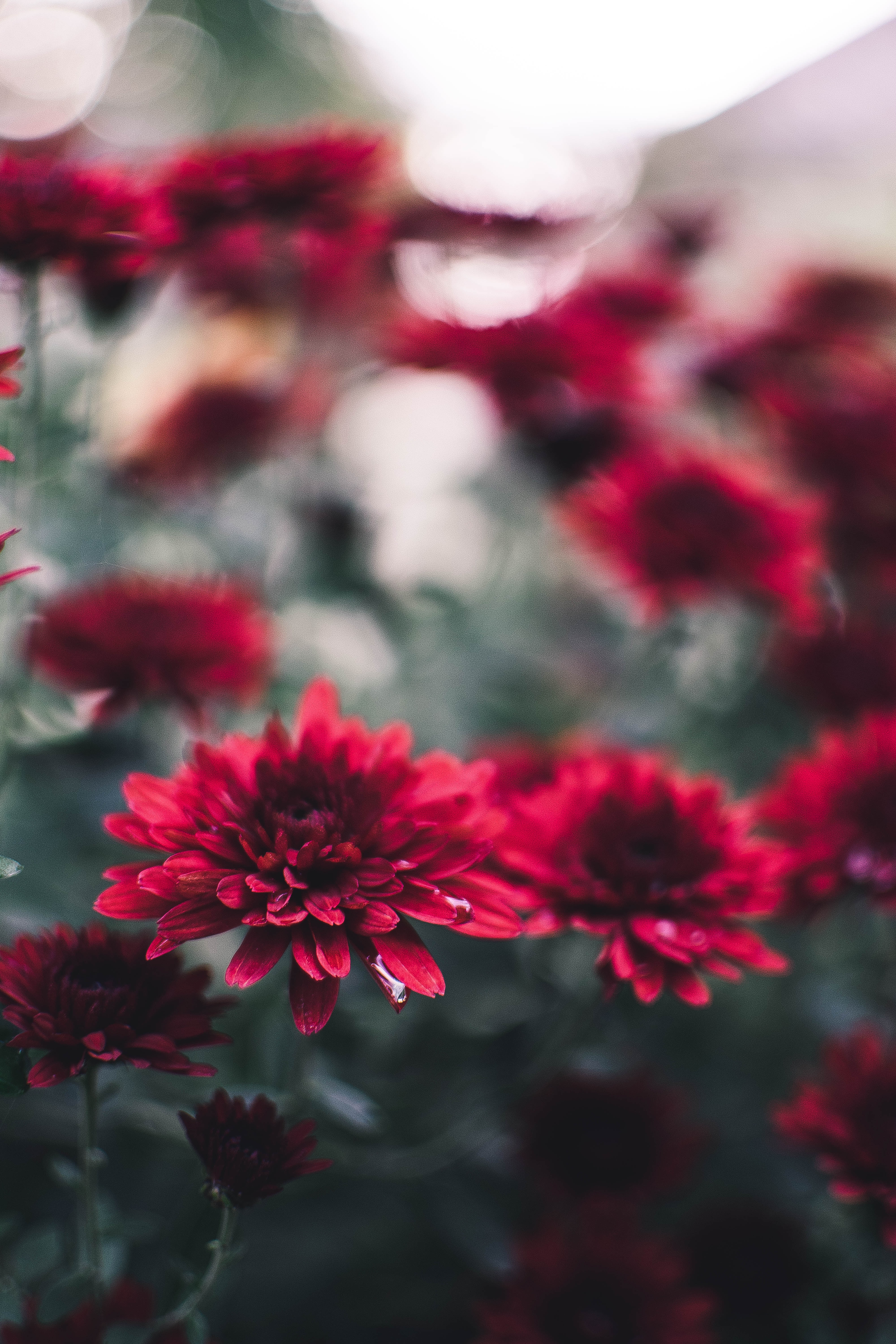 93598 download wallpaper Flowers, Chrysanthemum, Wet, Close-Up screensavers and pictures for free