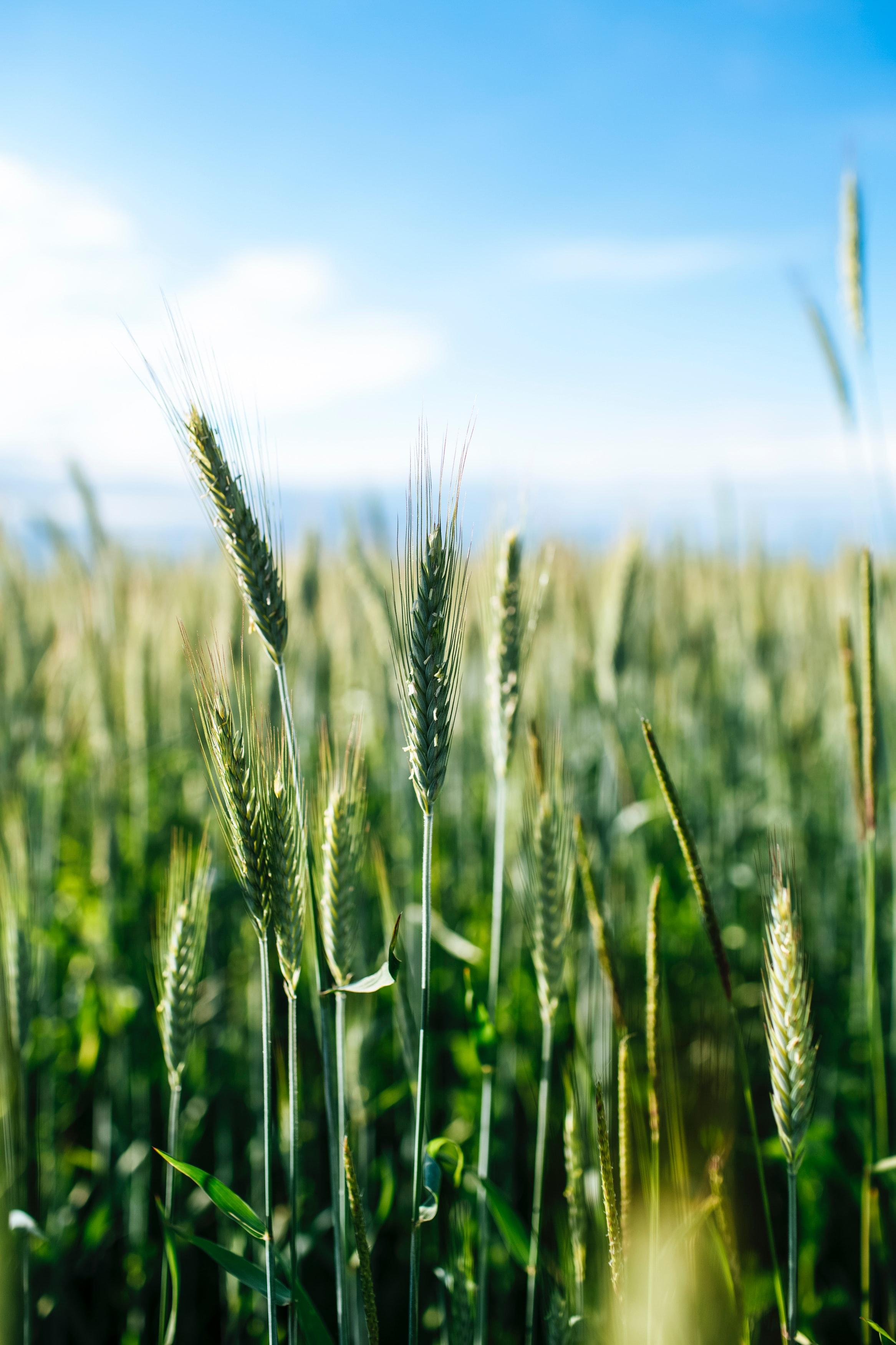 157550 скачать обои Природа, Колосья, Трава, Поле, Пшеница - заставки и картинки бесплатно